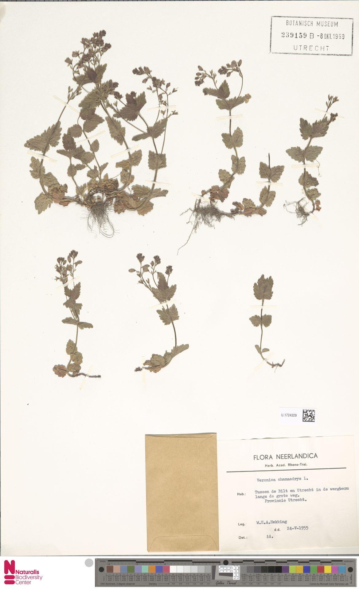 U.1724329 | Veronica chamaedrys L.