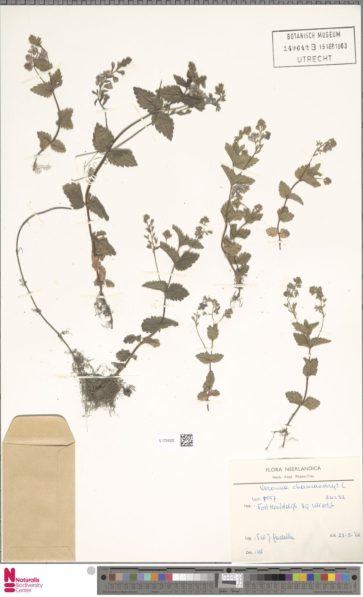 U.1724332 | Veronica chamaedrys L.
