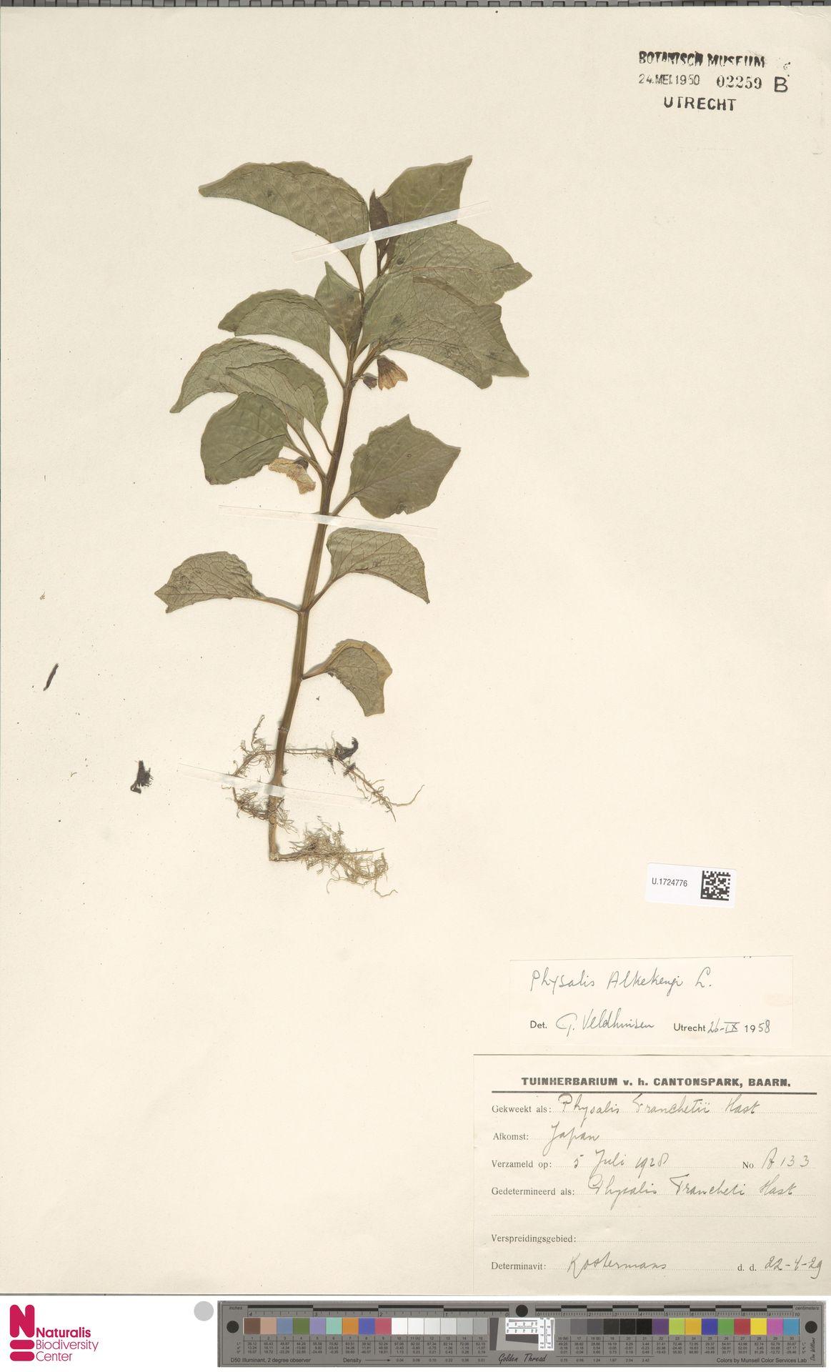 U.1724776 | Physalis alkekengi L.
