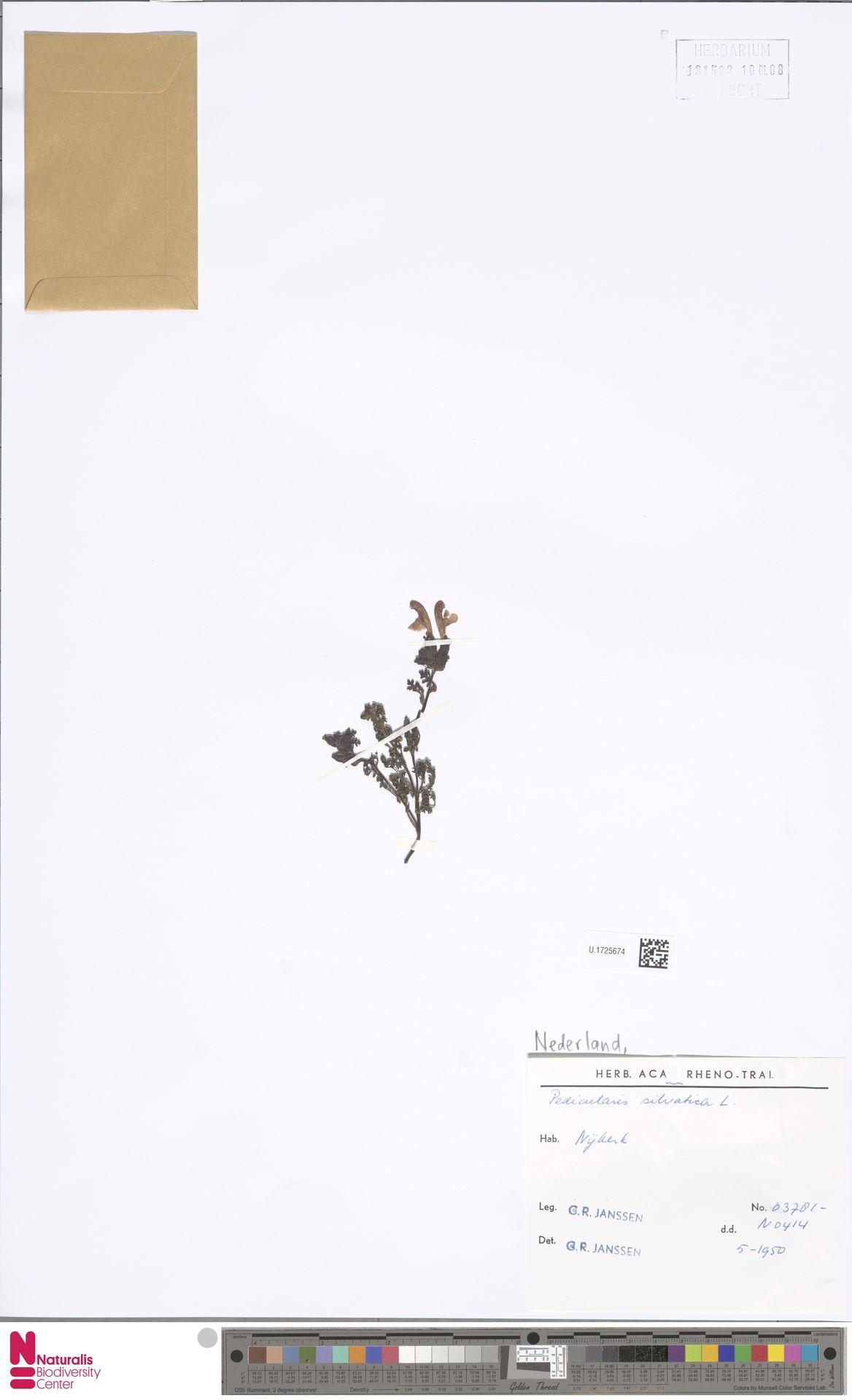 U.1725674   Pedicularis sylvatica L.