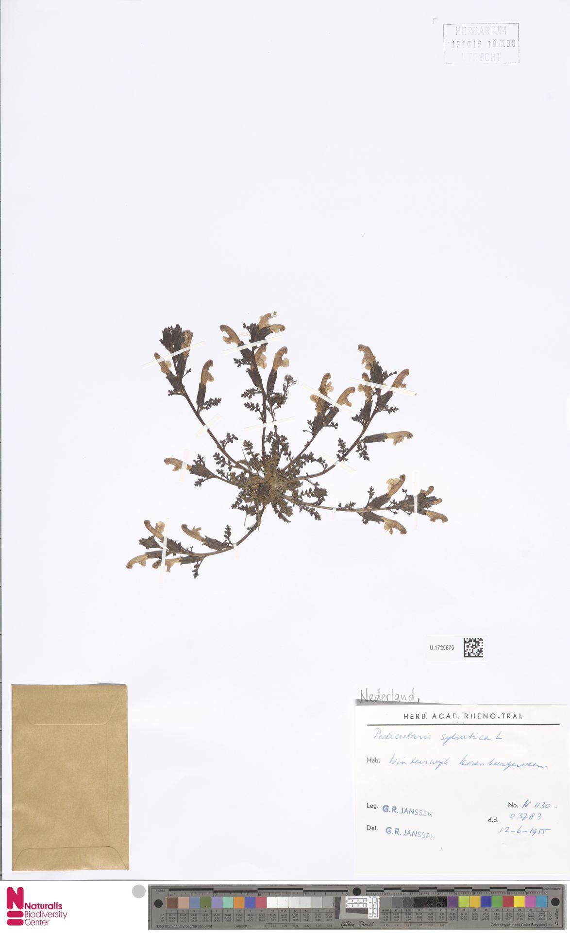 U.1725675 | Pedicularis sylvatica L.