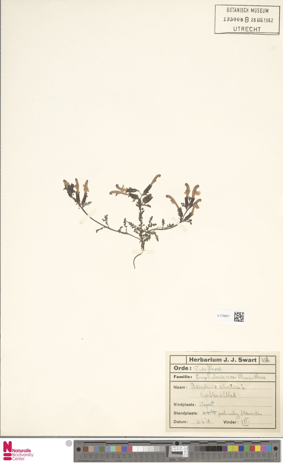 U.1725677 | Pedicularis sylvatica L.