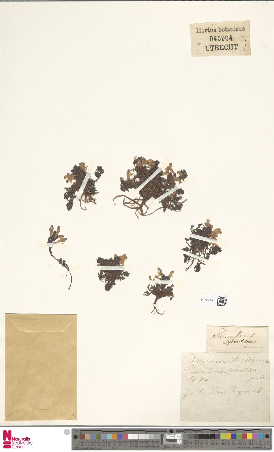 U.1725679 | Pedicularis sylvatica L.
