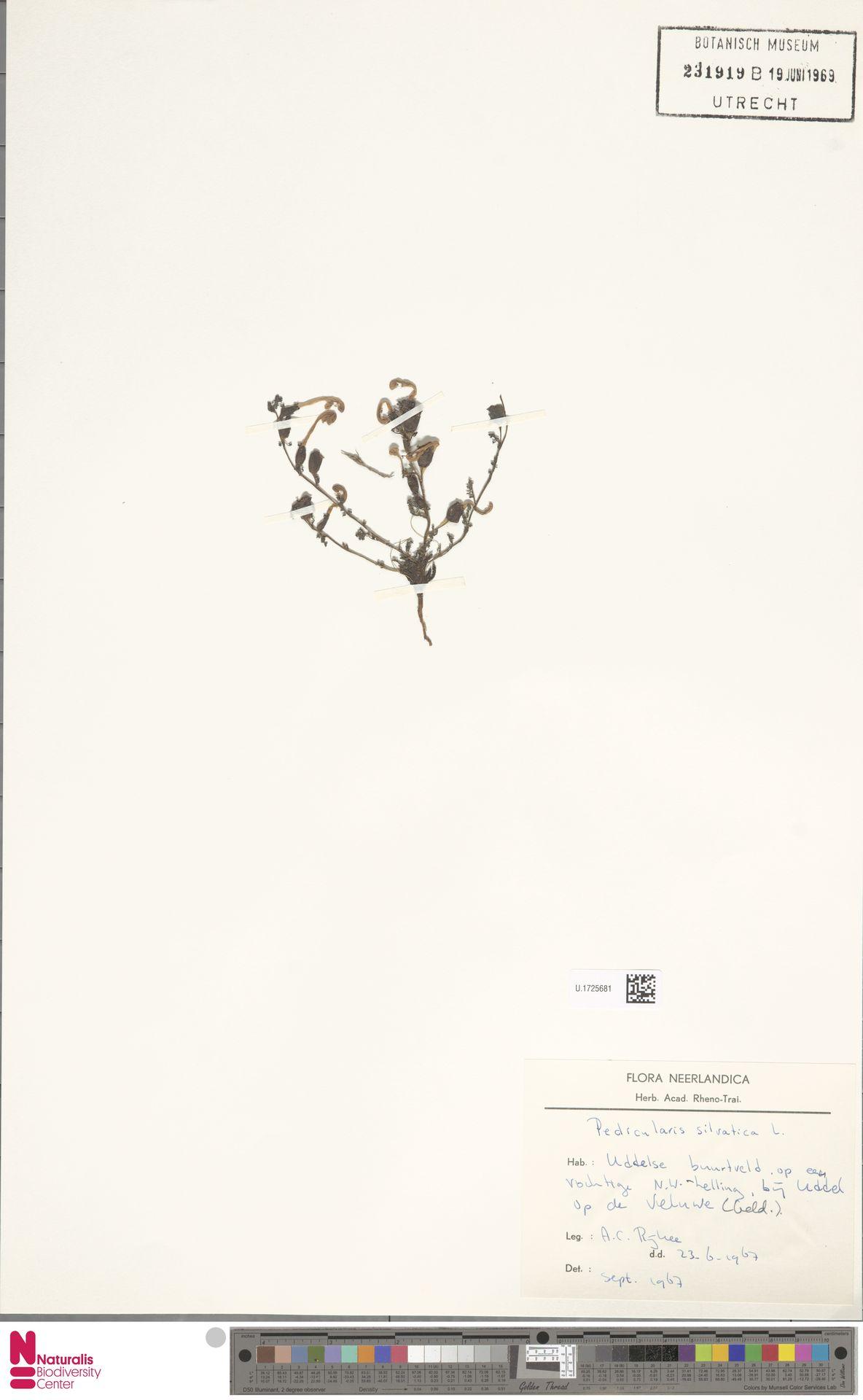 U.1725681 | Pedicularis sylvatica L.