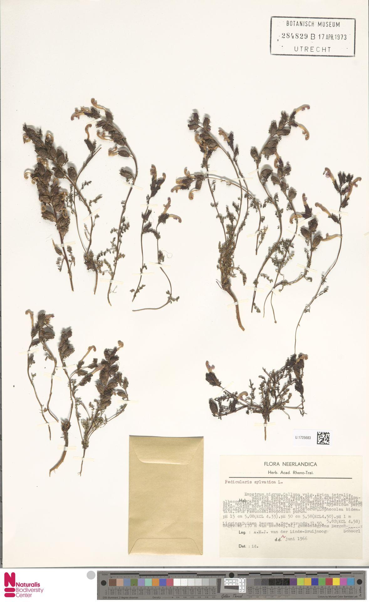 U.1725683   Pedicularis sylvatica L.
