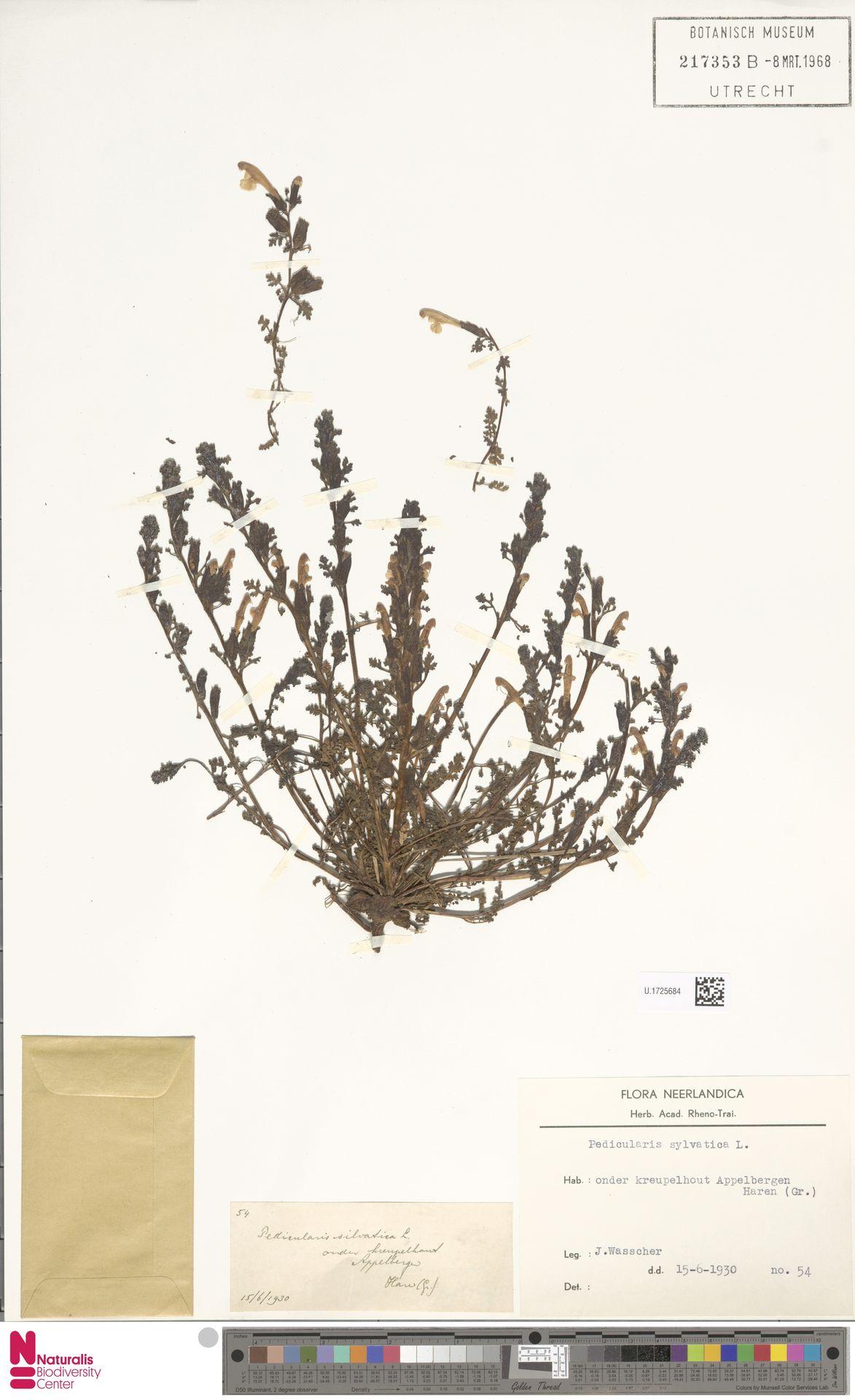 U.1725684 | Pedicularis sylvatica L.