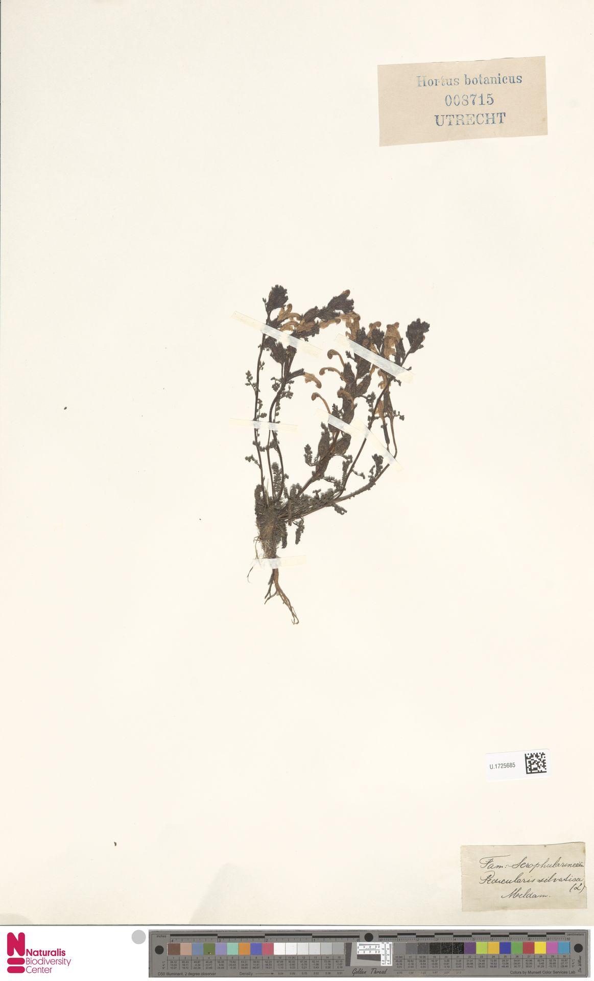 U.1725685 | Pedicularis sylvatica L.