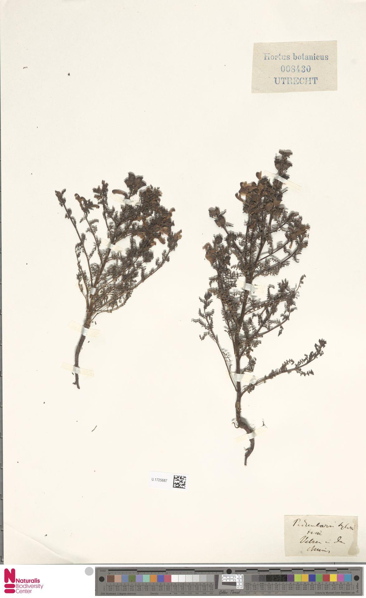 U.1725687 | Pedicularis sylvatica L.