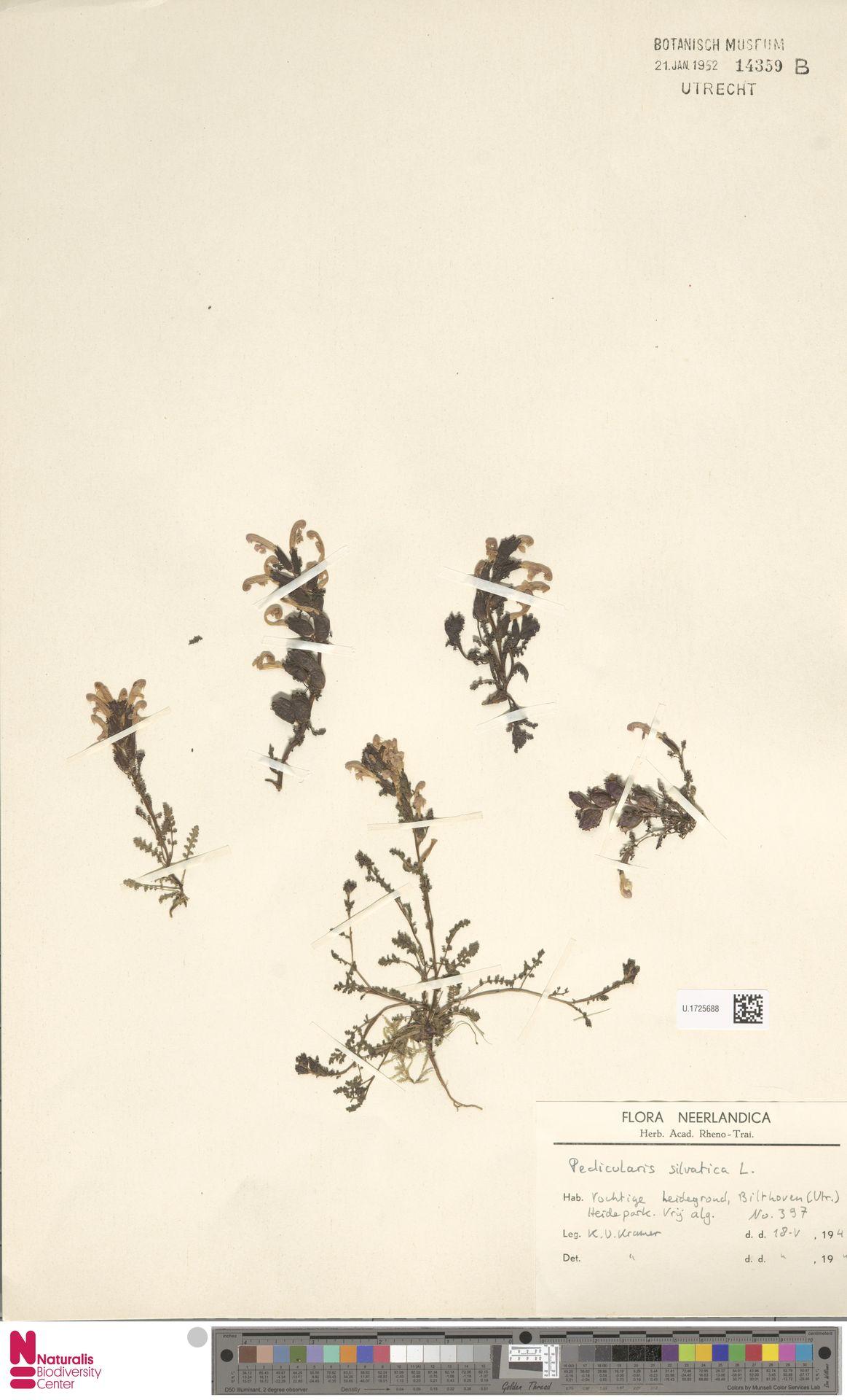 U.1725688 | Pedicularis sylvatica L.