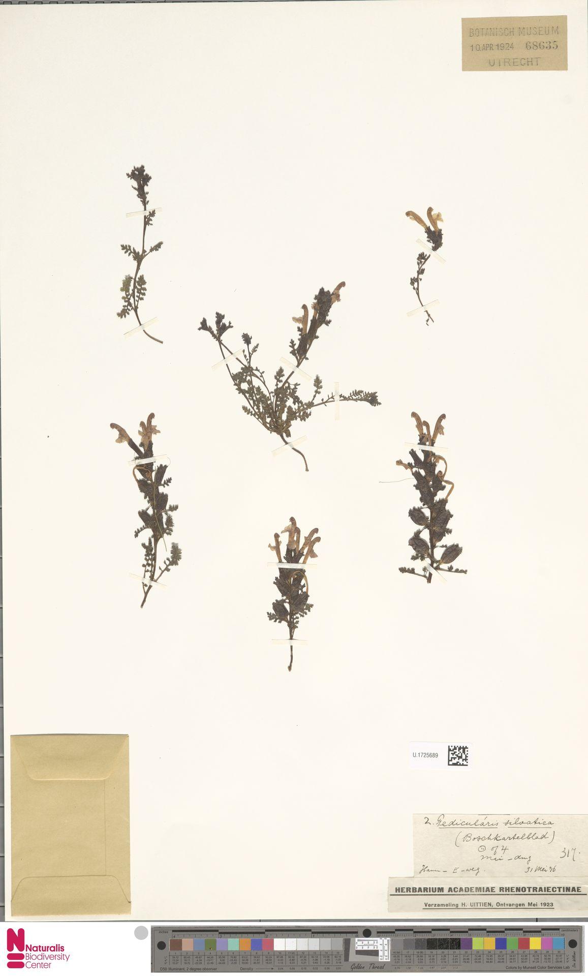 U.1725689 | Pedicularis sylvatica L.