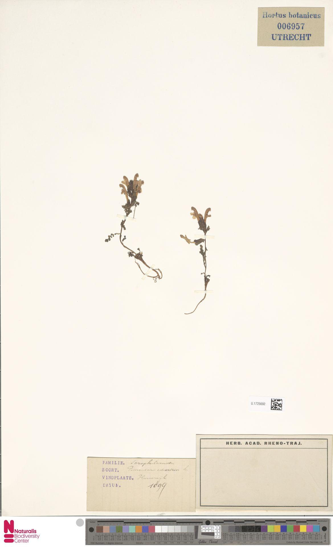 U.1725692 | Pedicularis sylvatica L.