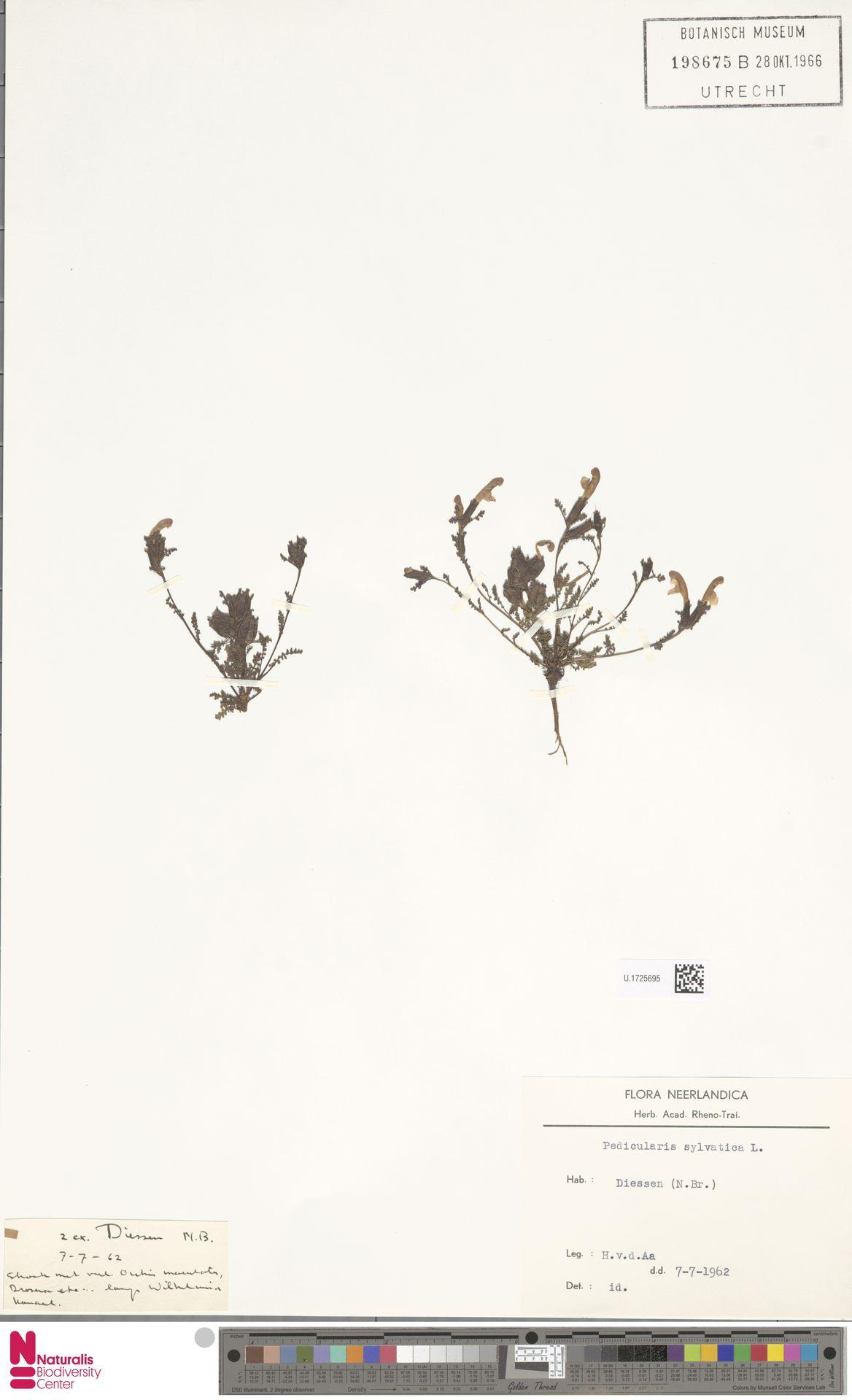 U.1725695 | Pedicularis sylvatica L.
