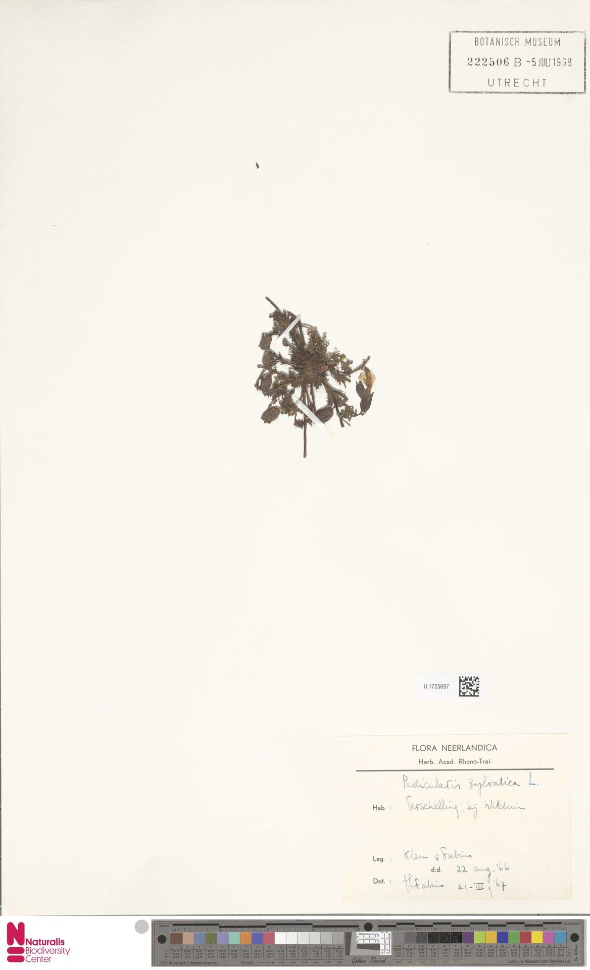 U.1725697 | Pedicularis sylvatica L.