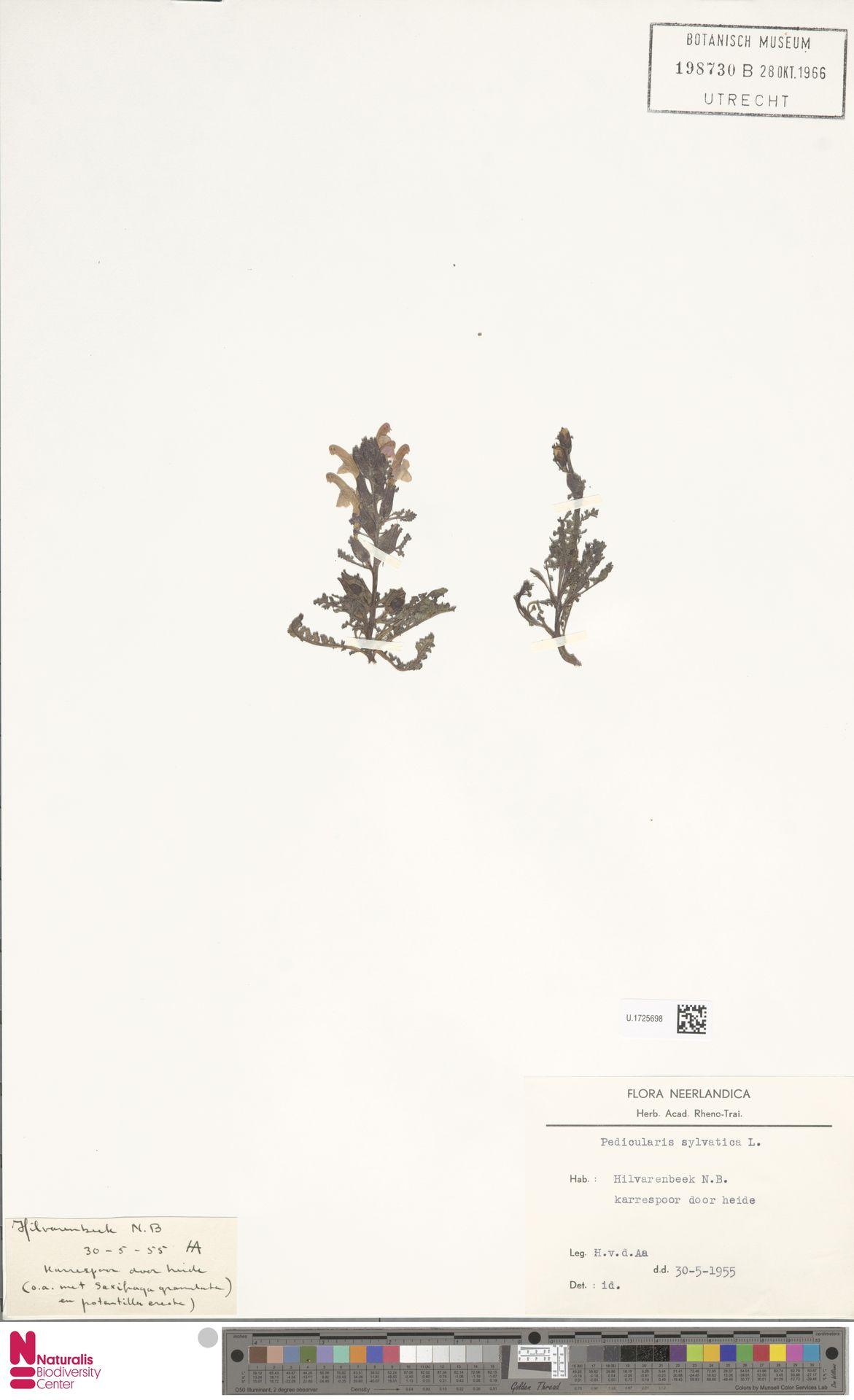 U.1725698 | Pedicularis sylvatica L.