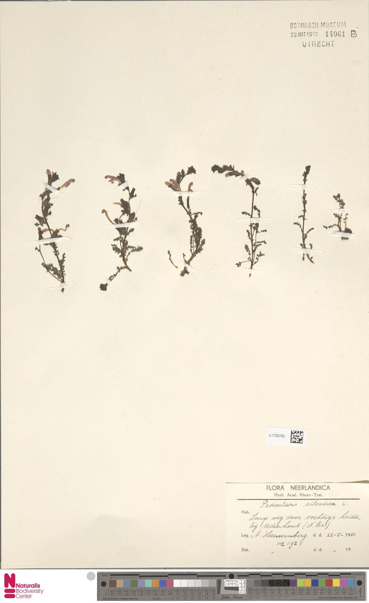 U.1725700 | Pedicularis sylvatica L.