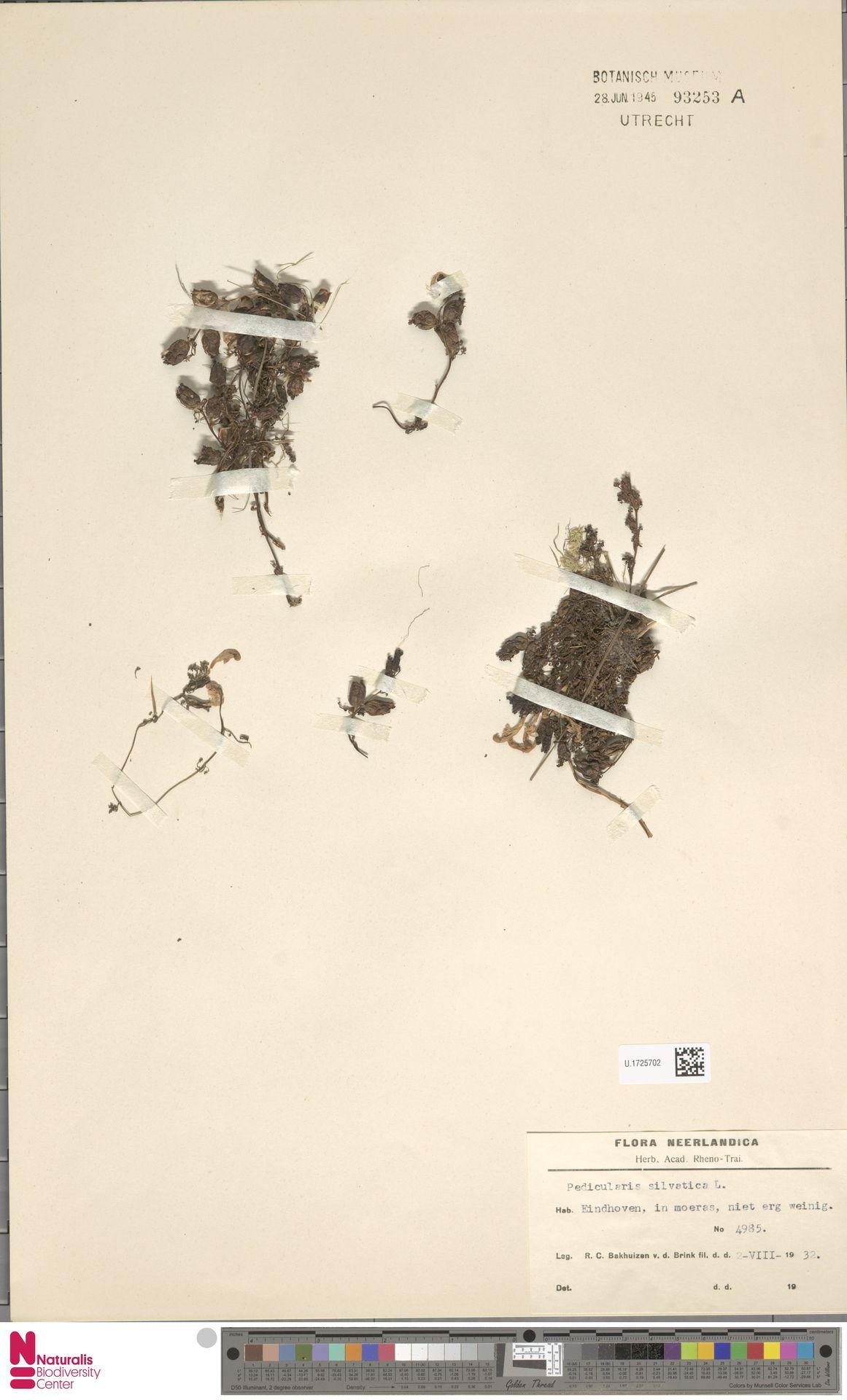 U.1725702 | Pedicularis sylvatica L.