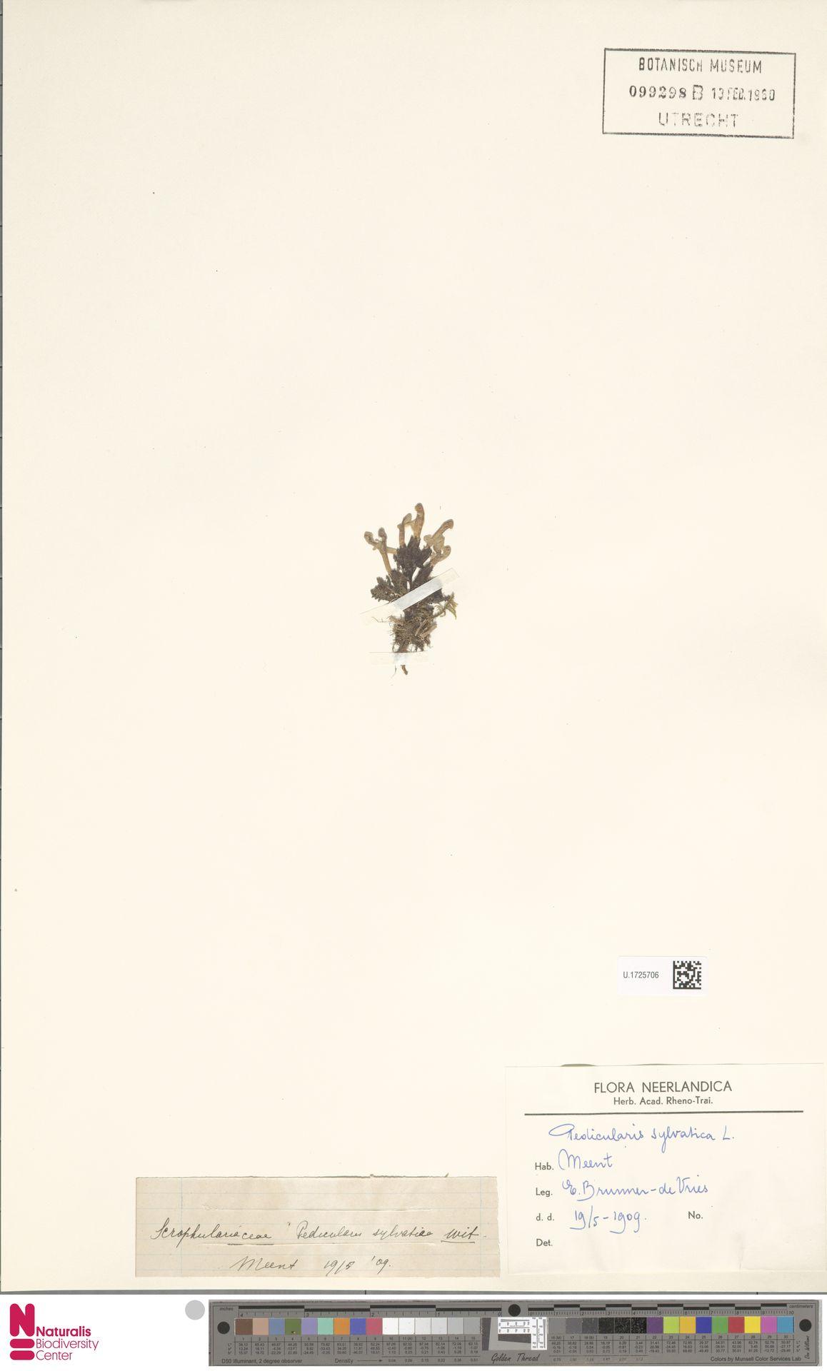 U.1725706   Pedicularis sylvatica L.