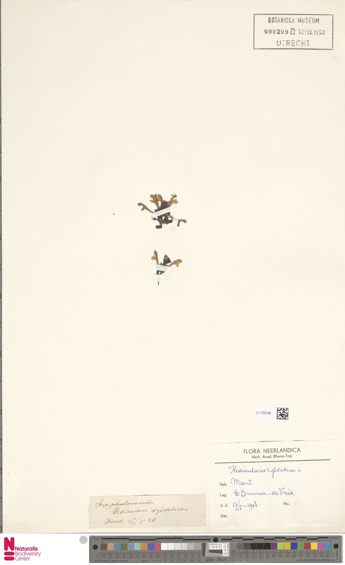 U.1725708   Pedicularis sylvatica L.