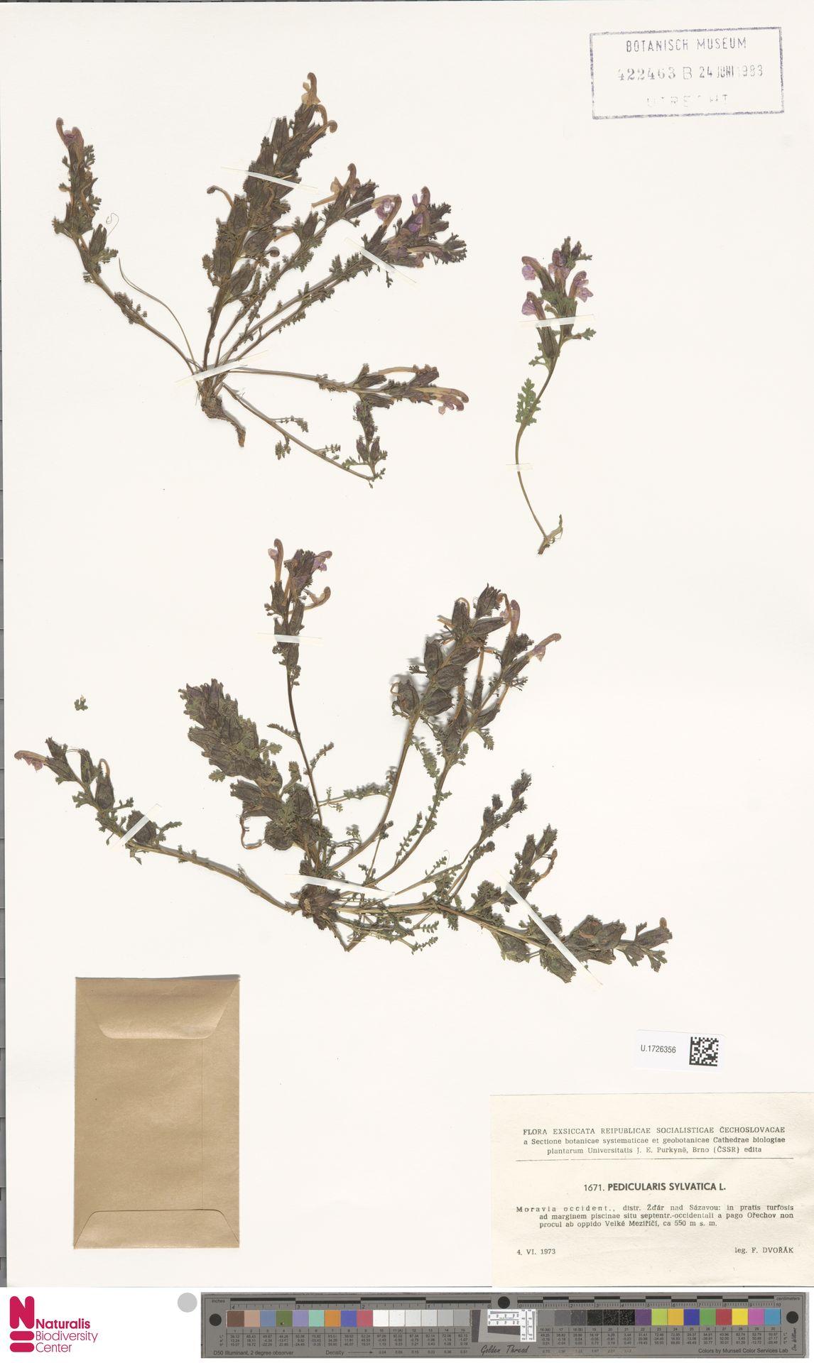 U.1726356 | Pedicularis sylvatica L.