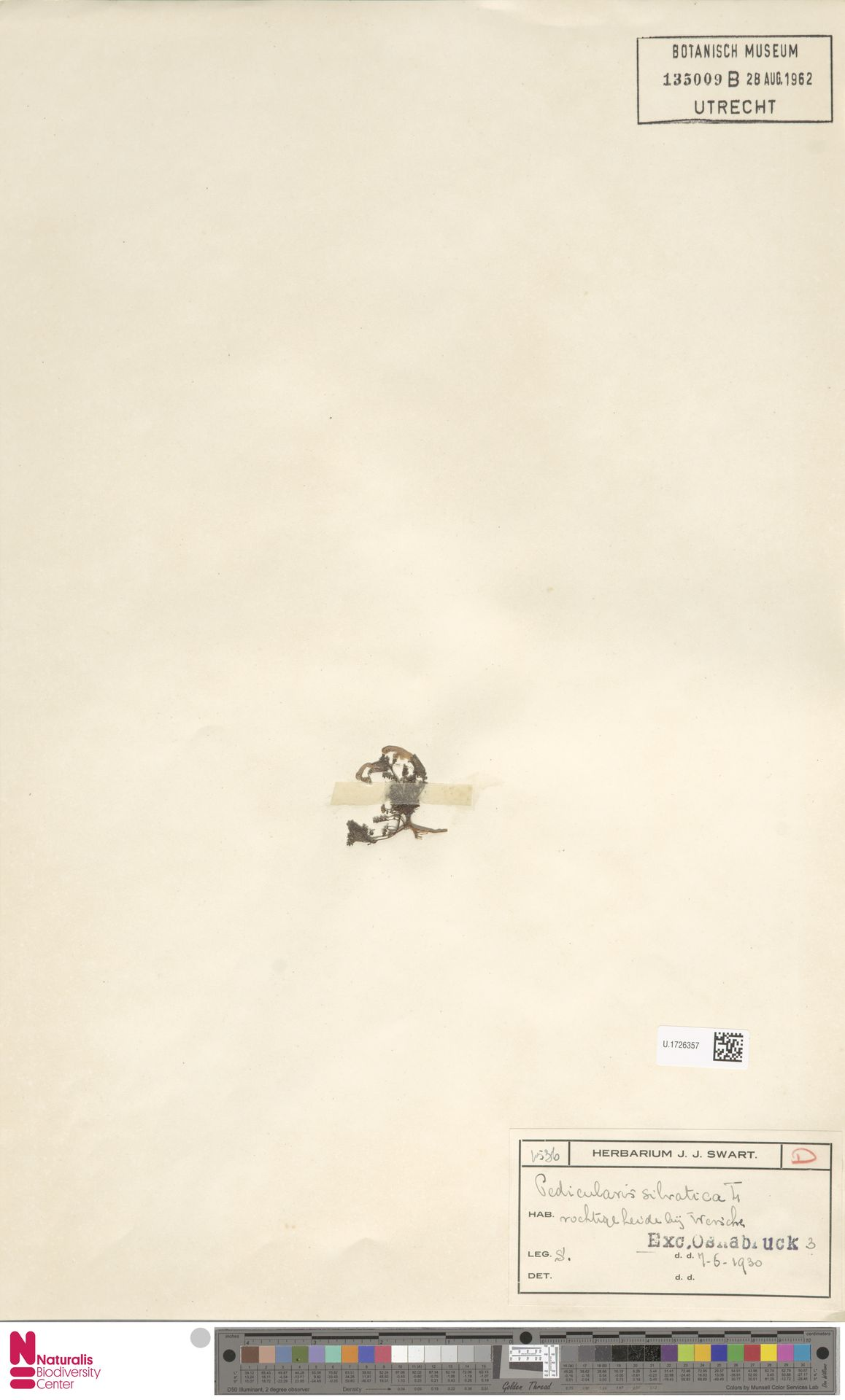 U.1726357 | Pedicularis sylvatica L.