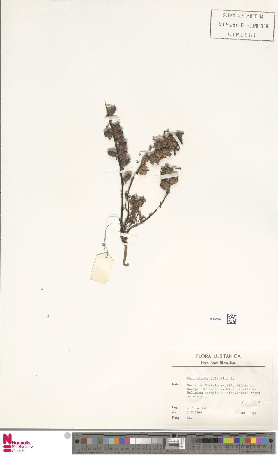 U.1726359 | Pedicularis sylvatica L.