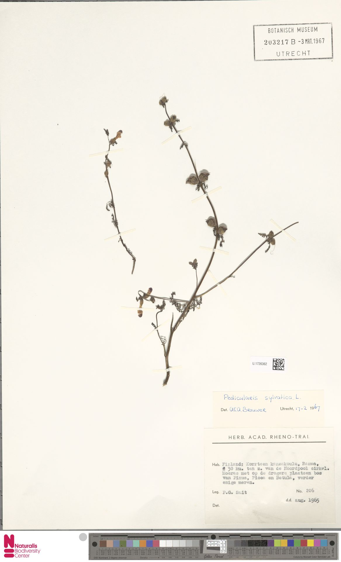 U.1726362 | Pedicularis sylvatica L.
