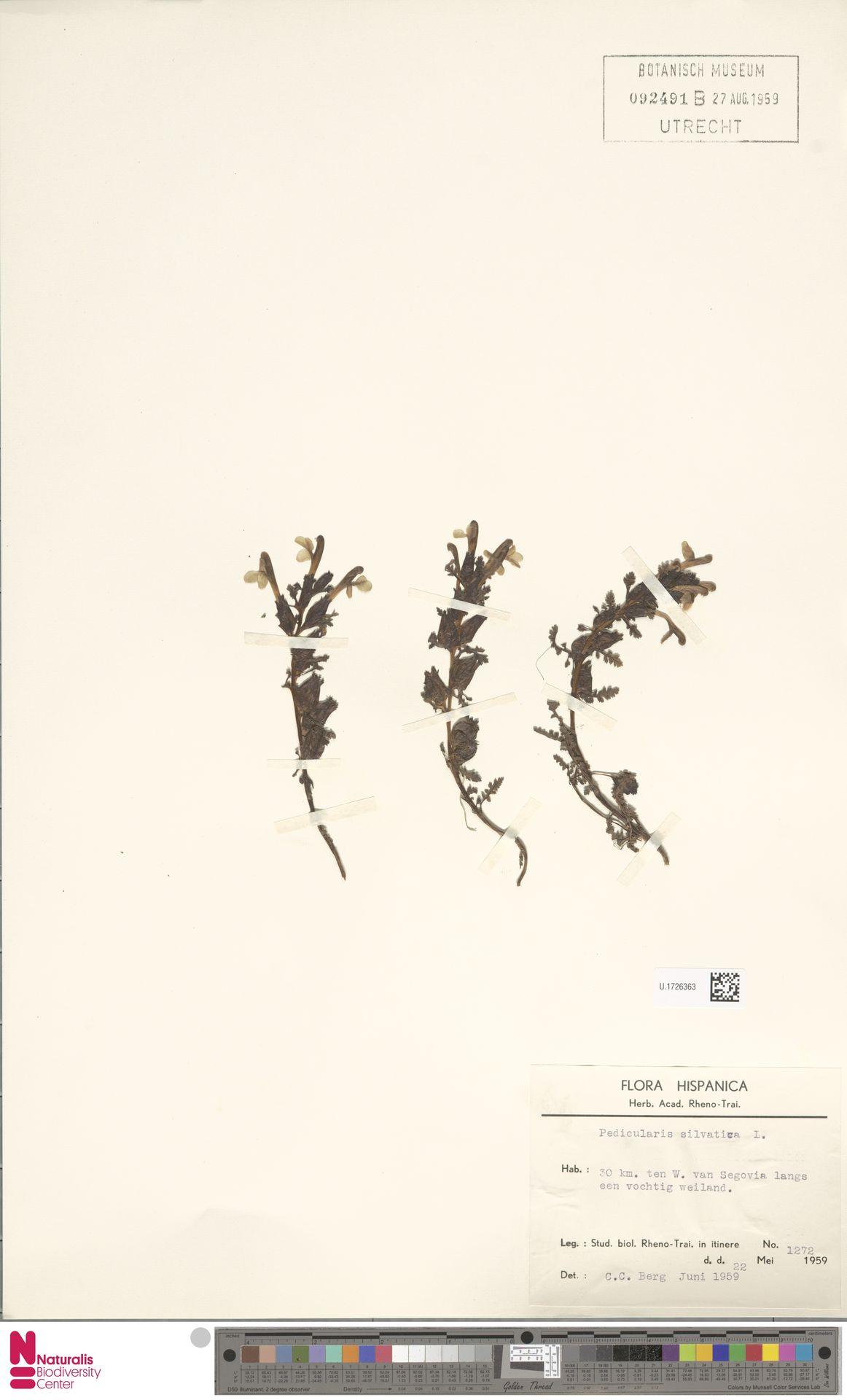 U.1726363 | Pedicularis sylvatica L.