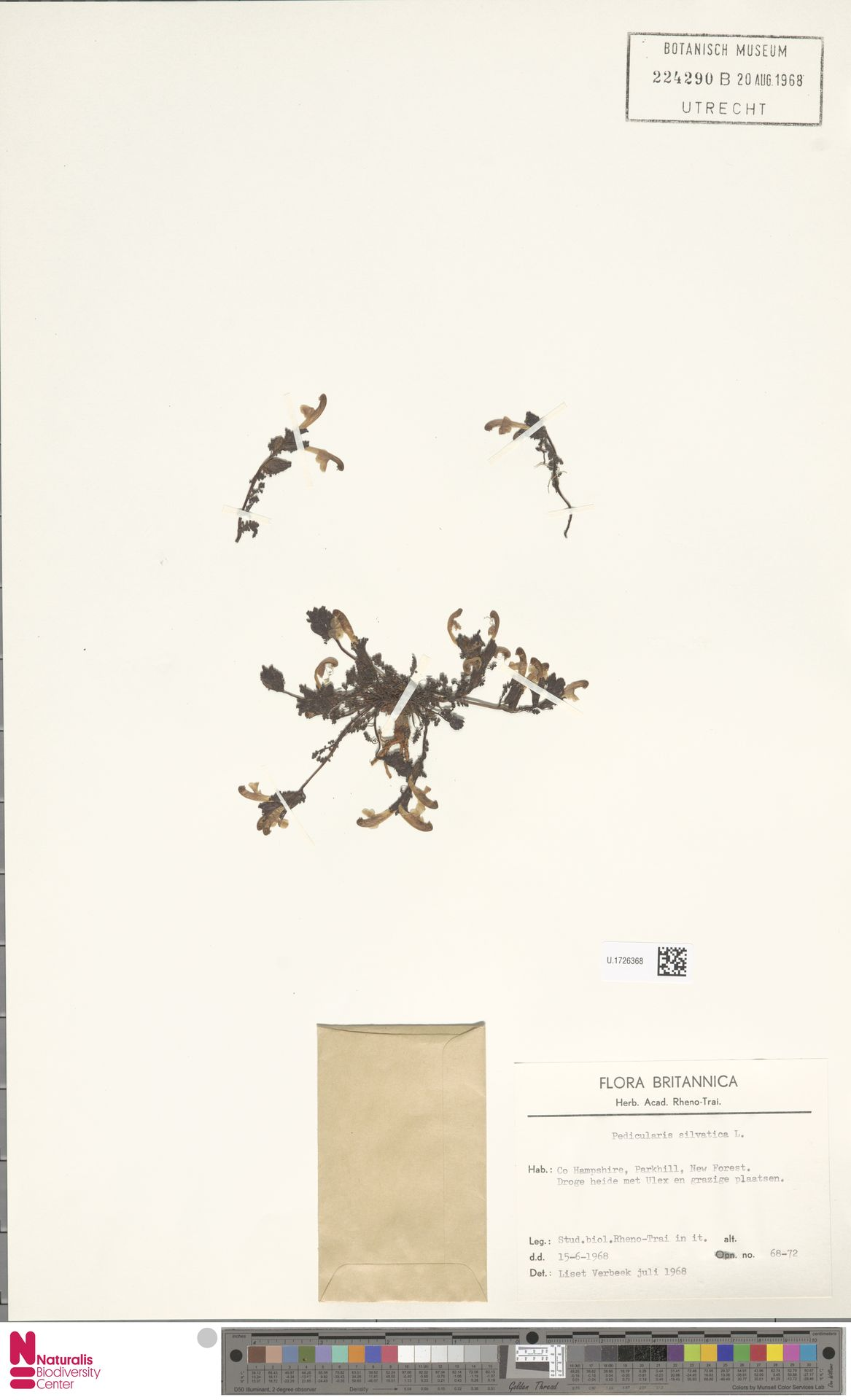 U.1726368 | Pedicularis sylvatica L.