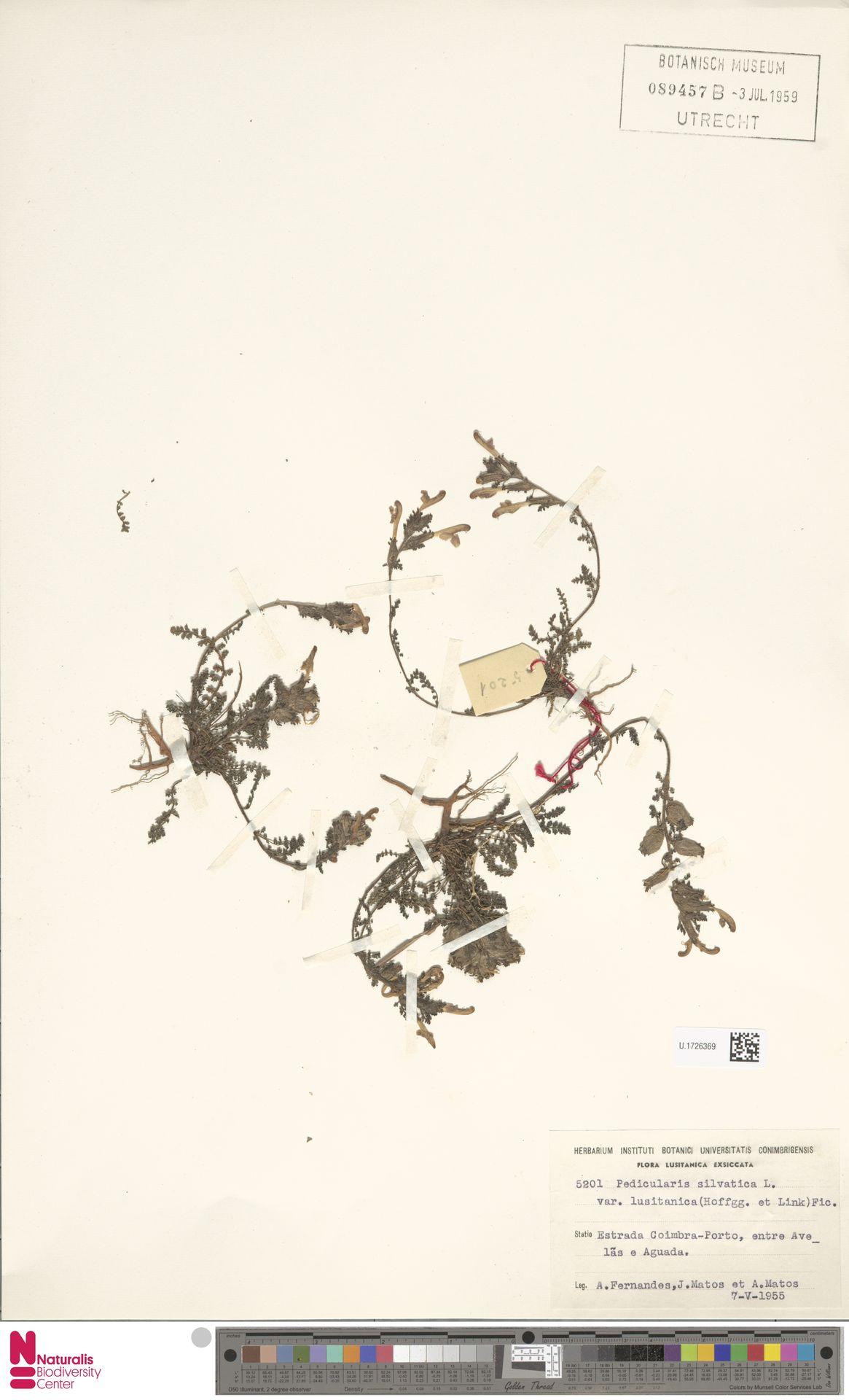 U.1726369 | Pedicularis sylvatica L.