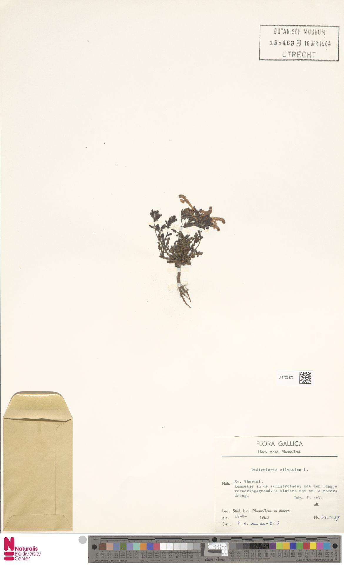 U.1726372 | Pedicularis sylvatica L.