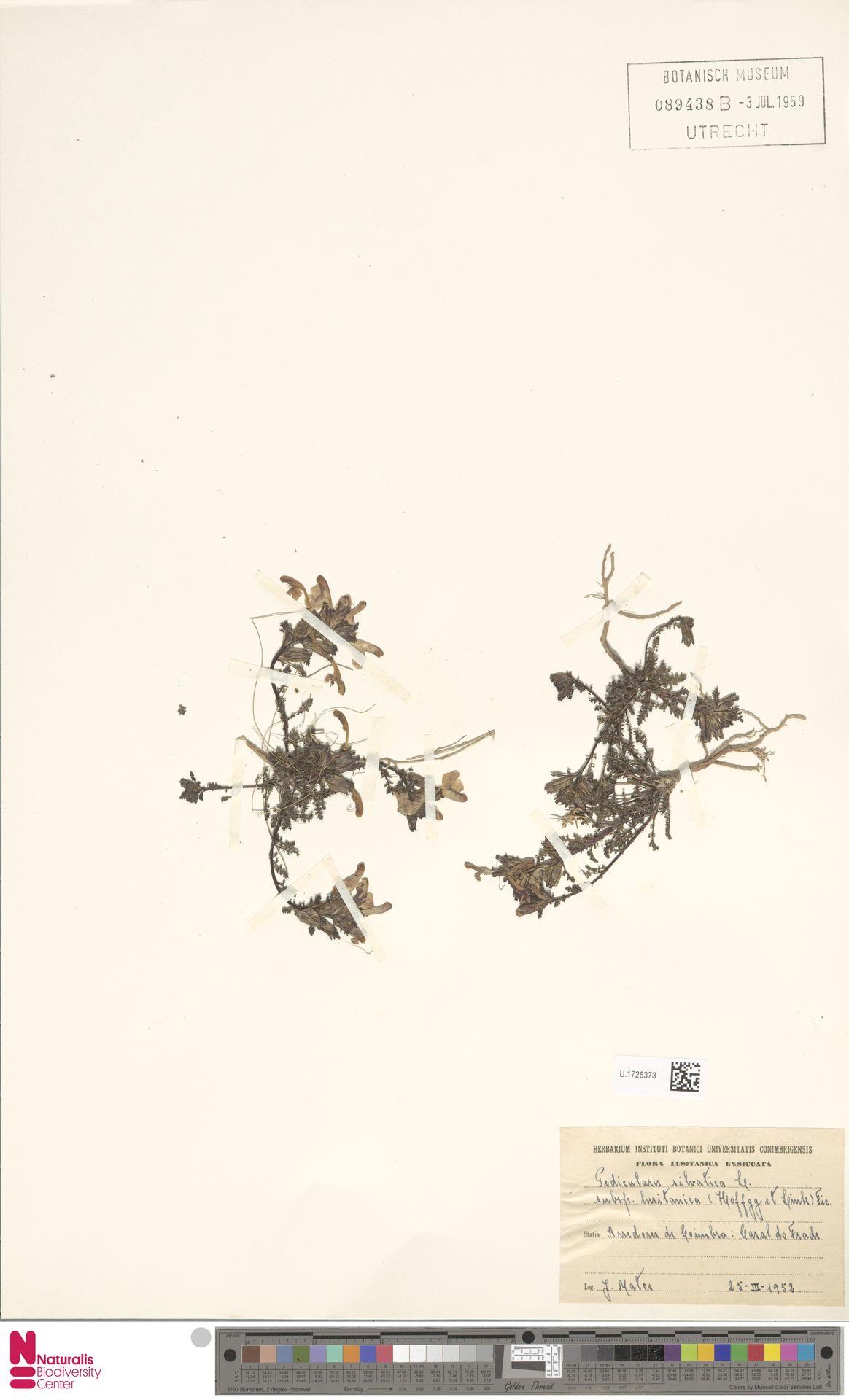 U.1726373 | Pedicularis sylvatica L.