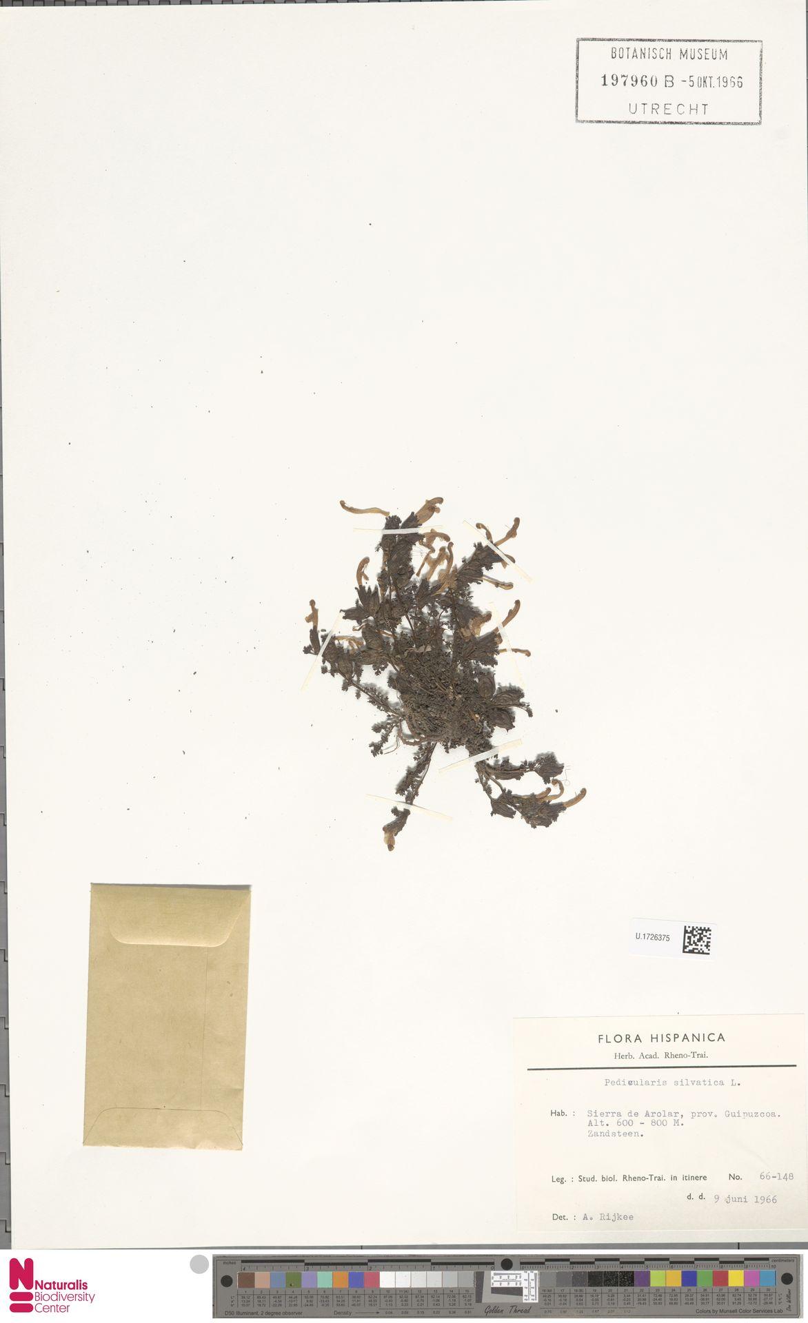 U.1726375 | Pedicularis sylvatica L.