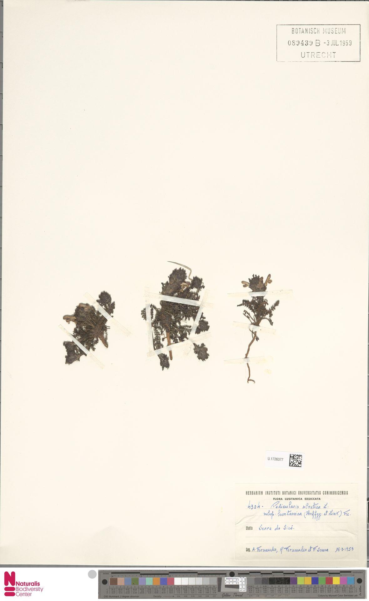 U.1726377 | Pedicularis sylvatica L.