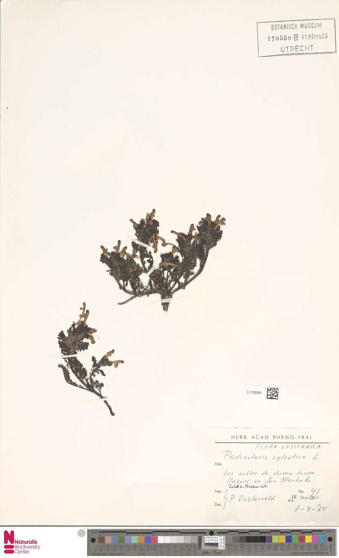 U.1726380 | Pedicularis sylvatica L.