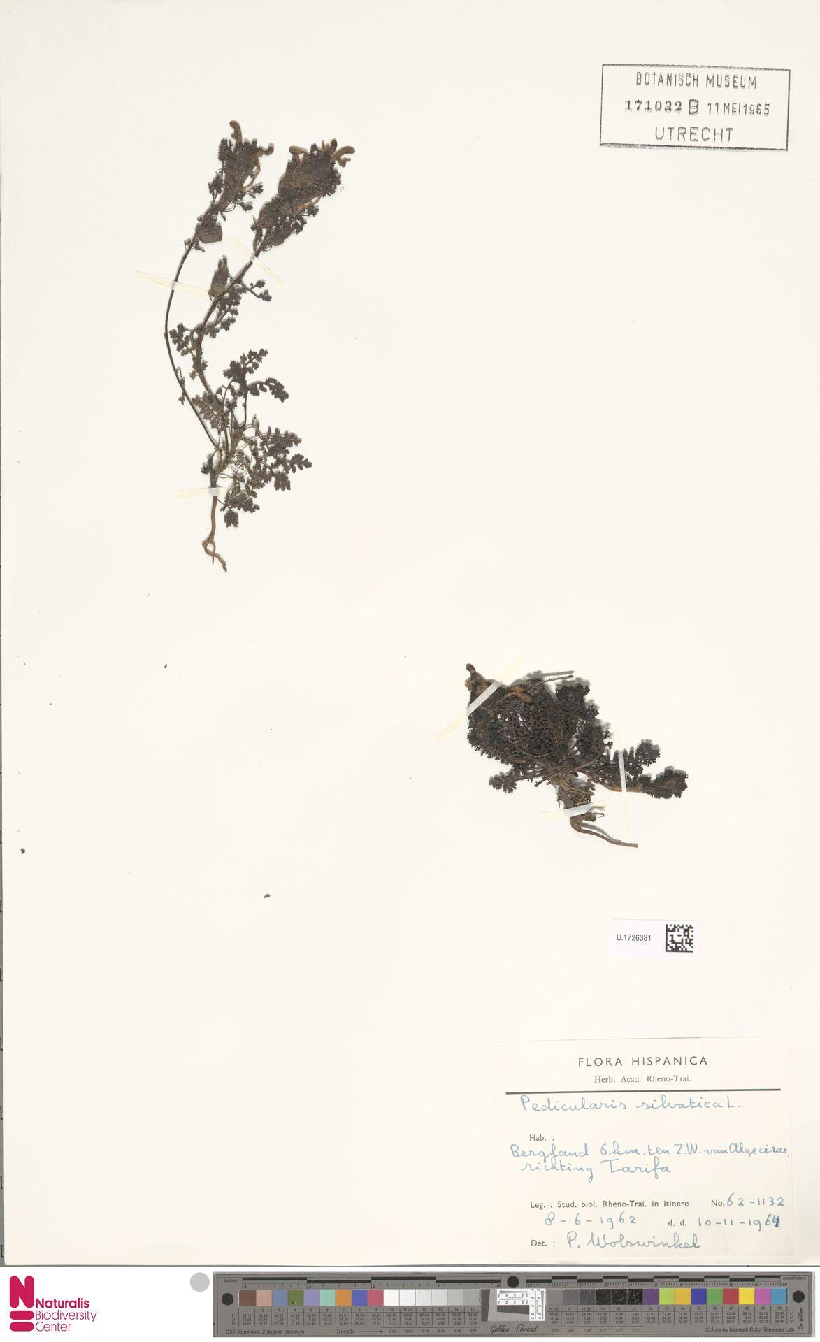 U.1726381 | Pedicularis sylvatica L.