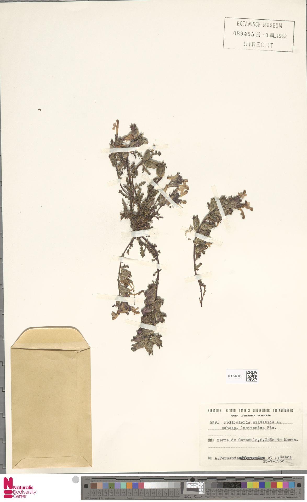 U.1726383 | Pedicularis sylvatica L.