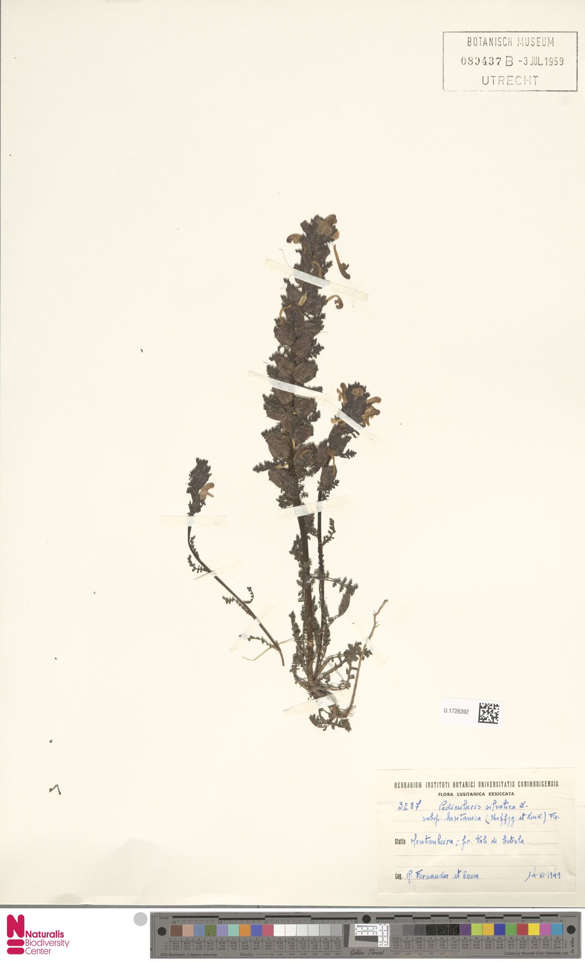 U.1726392   Pedicularis sylvatica L.