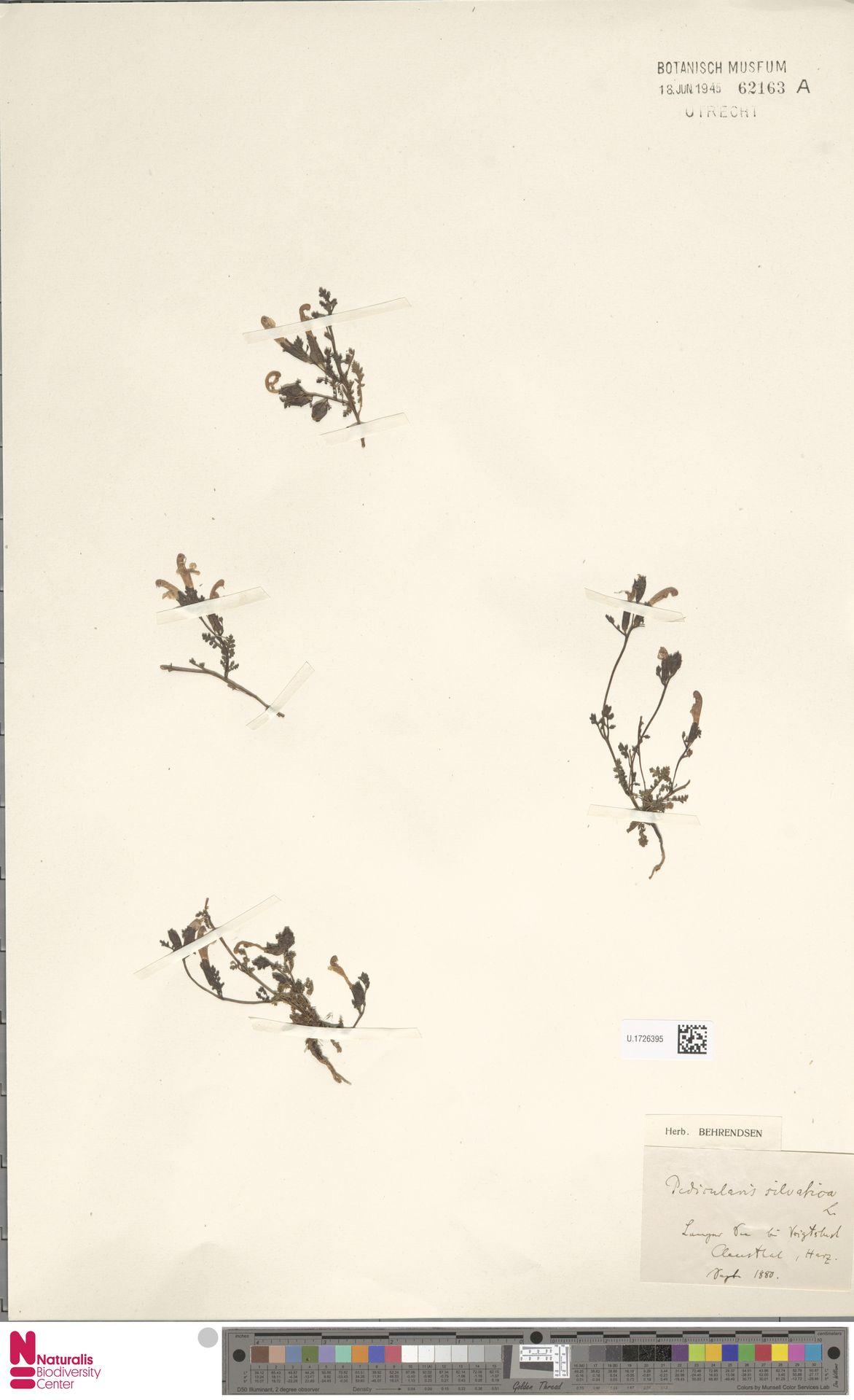 U.1726395 | Pedicularis sylvatica L.