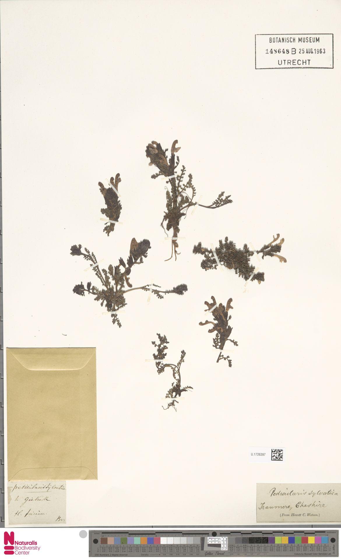 U.1726397 | Pedicularis sylvatica L.