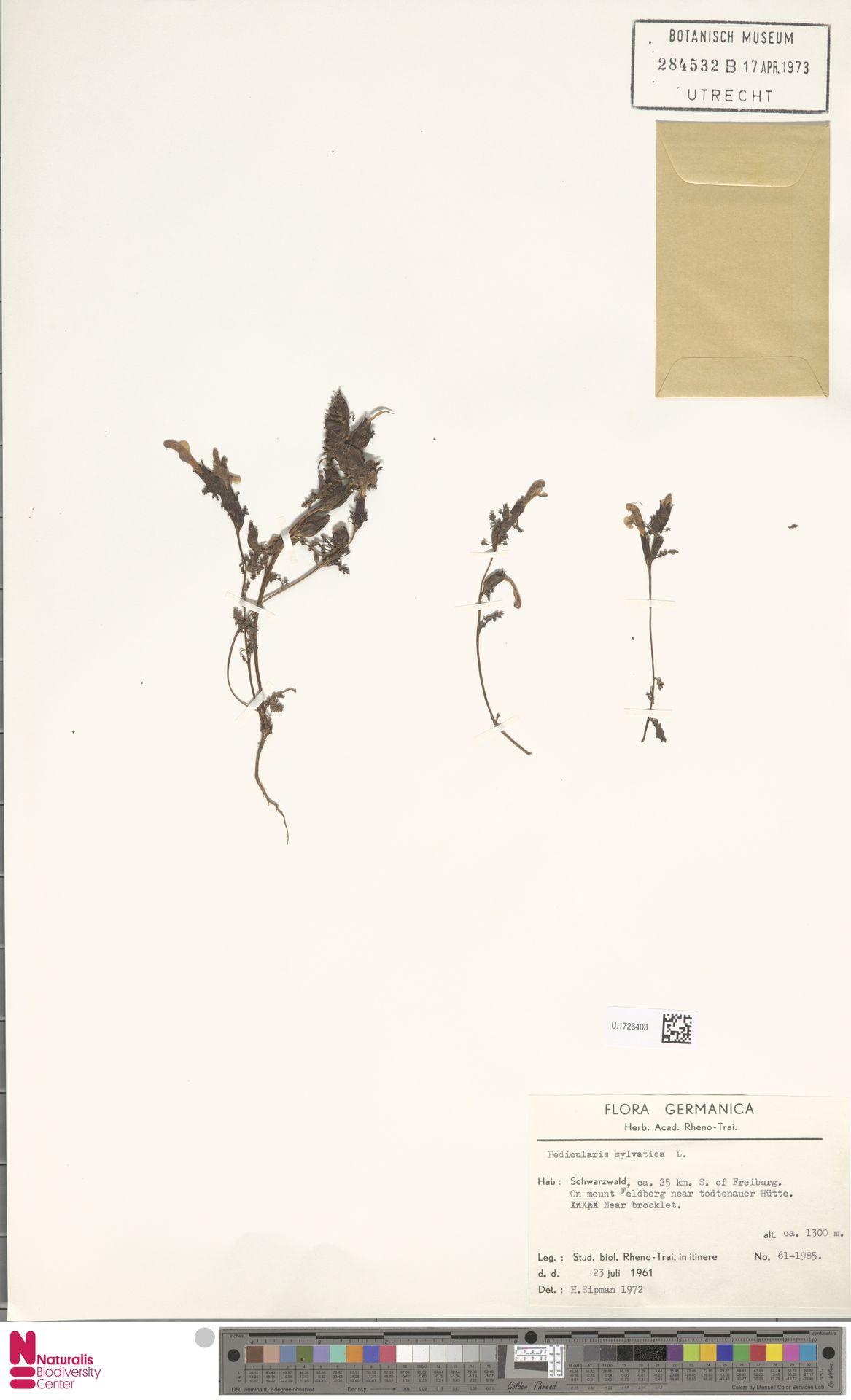 U.1726403   Pedicularis sylvatica L.