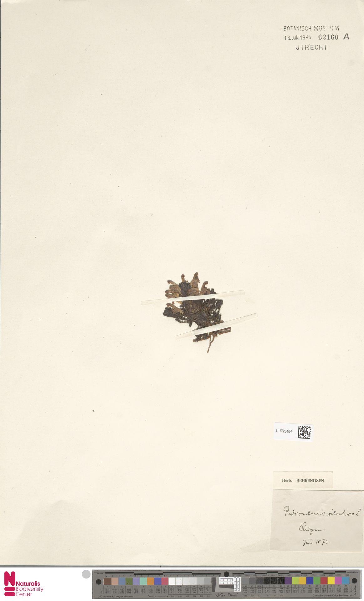 U.1726404 | Pedicularis sylvatica L.