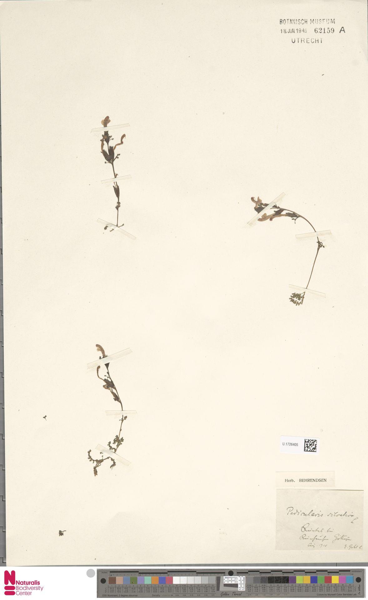 U.1726405 | Pedicularis sylvatica L.