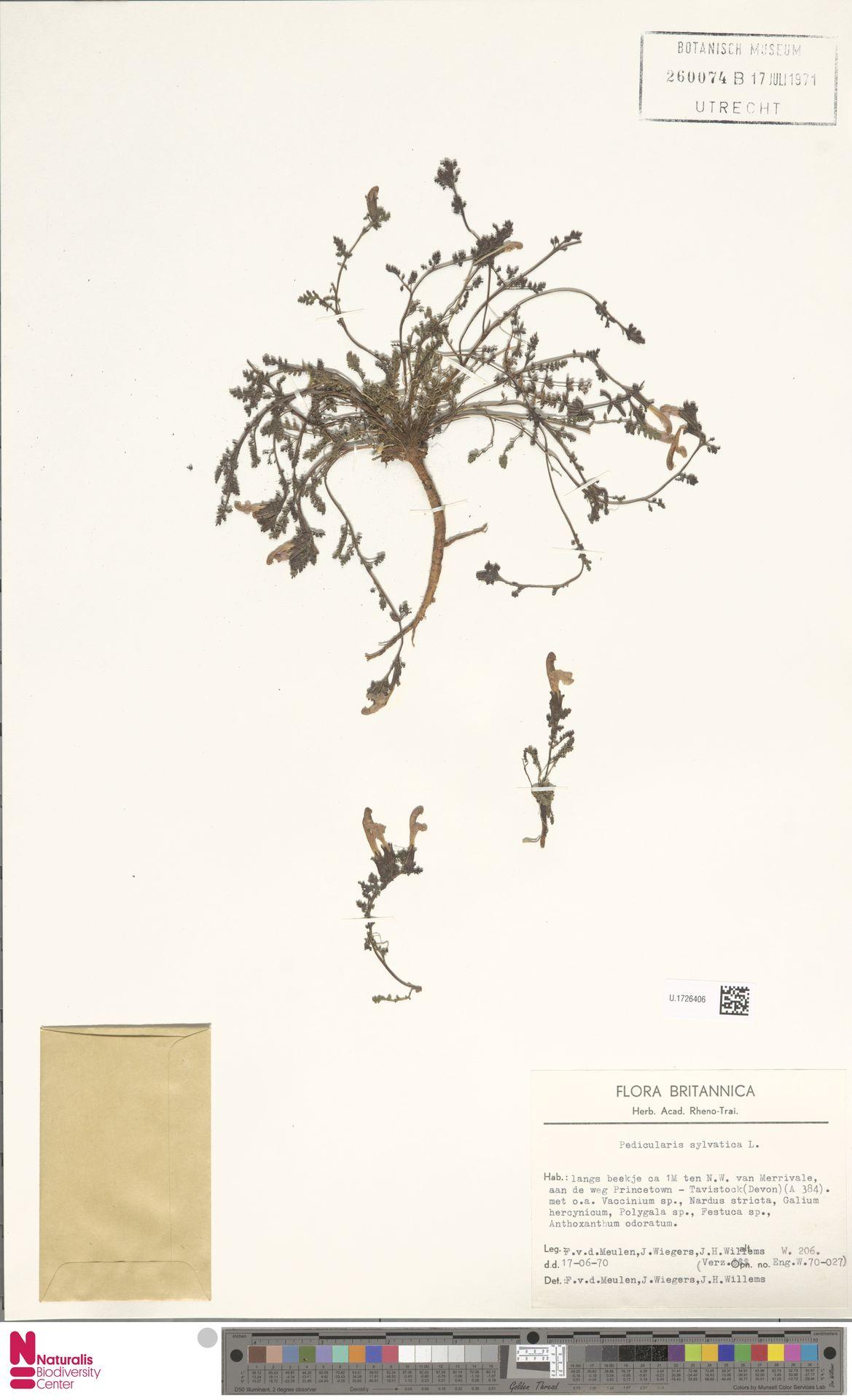U.1726406 | Pedicularis sylvatica L.