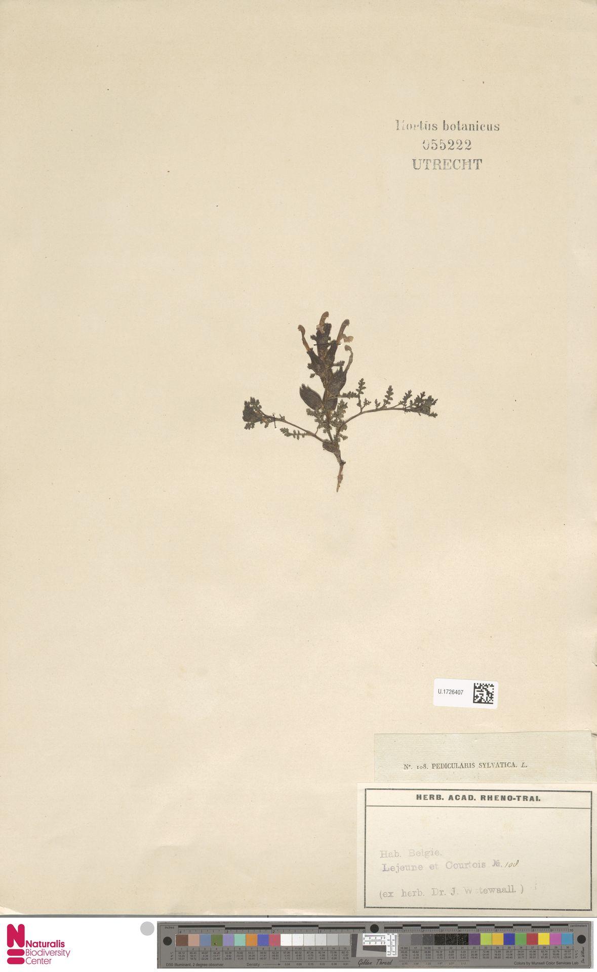U.1726407   Pedicularis sylvatica L.