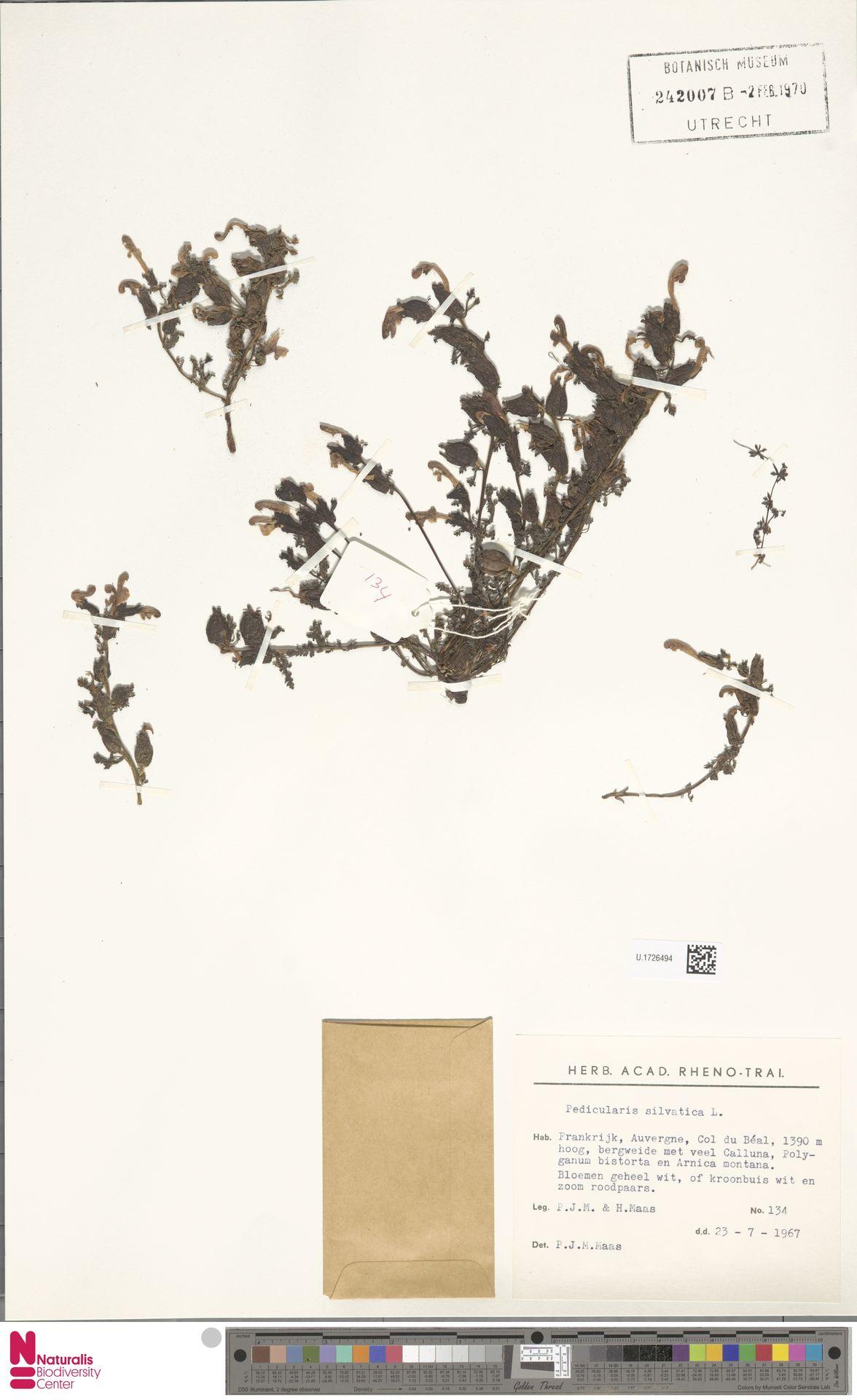 U.1726494 | Pedicularis sylvatica L.