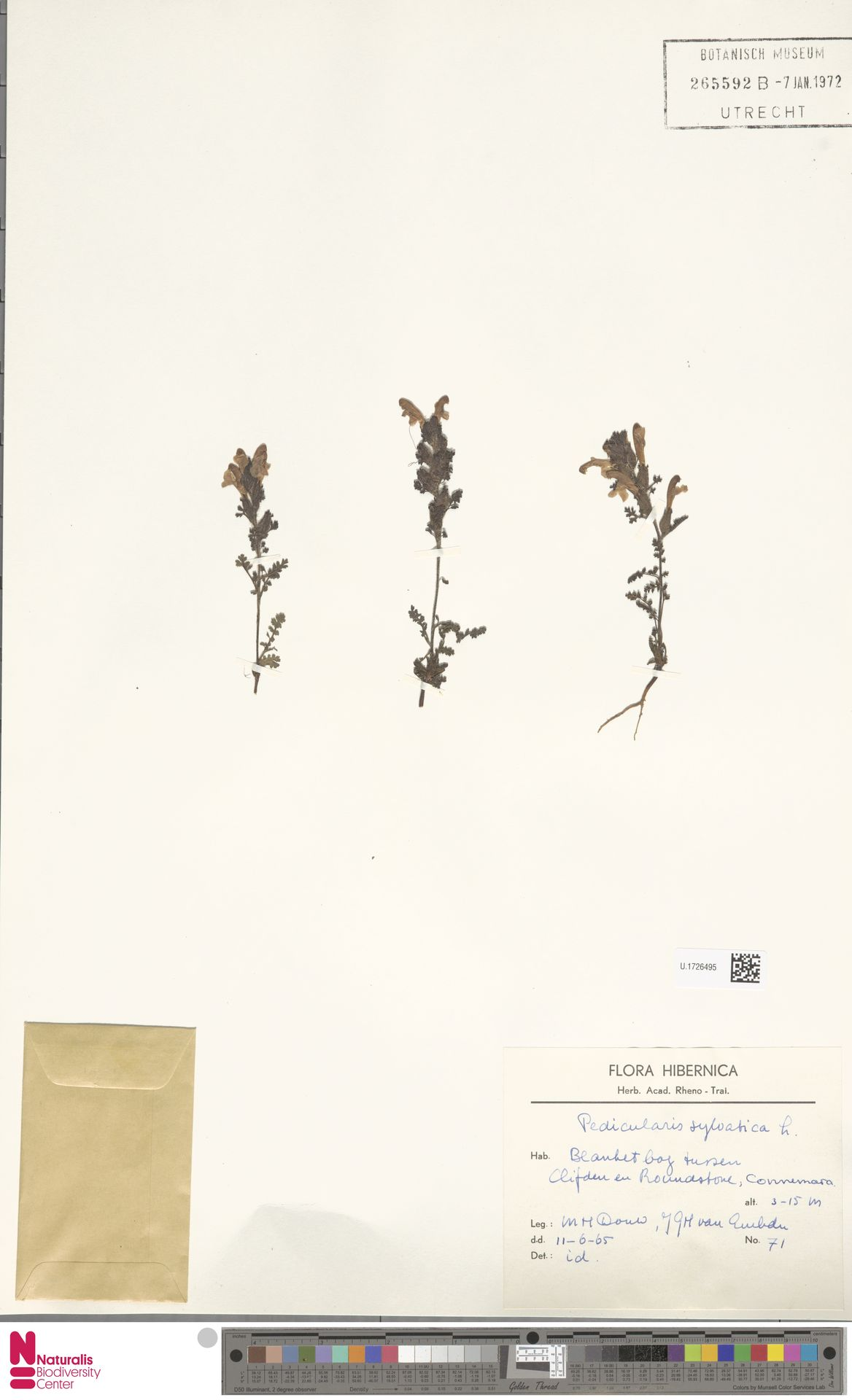 U.1726495 | Pedicularis sylvatica L.