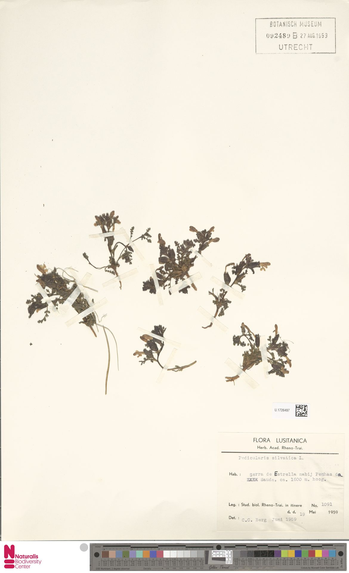 U.1726497 | Pedicularis sylvatica L.