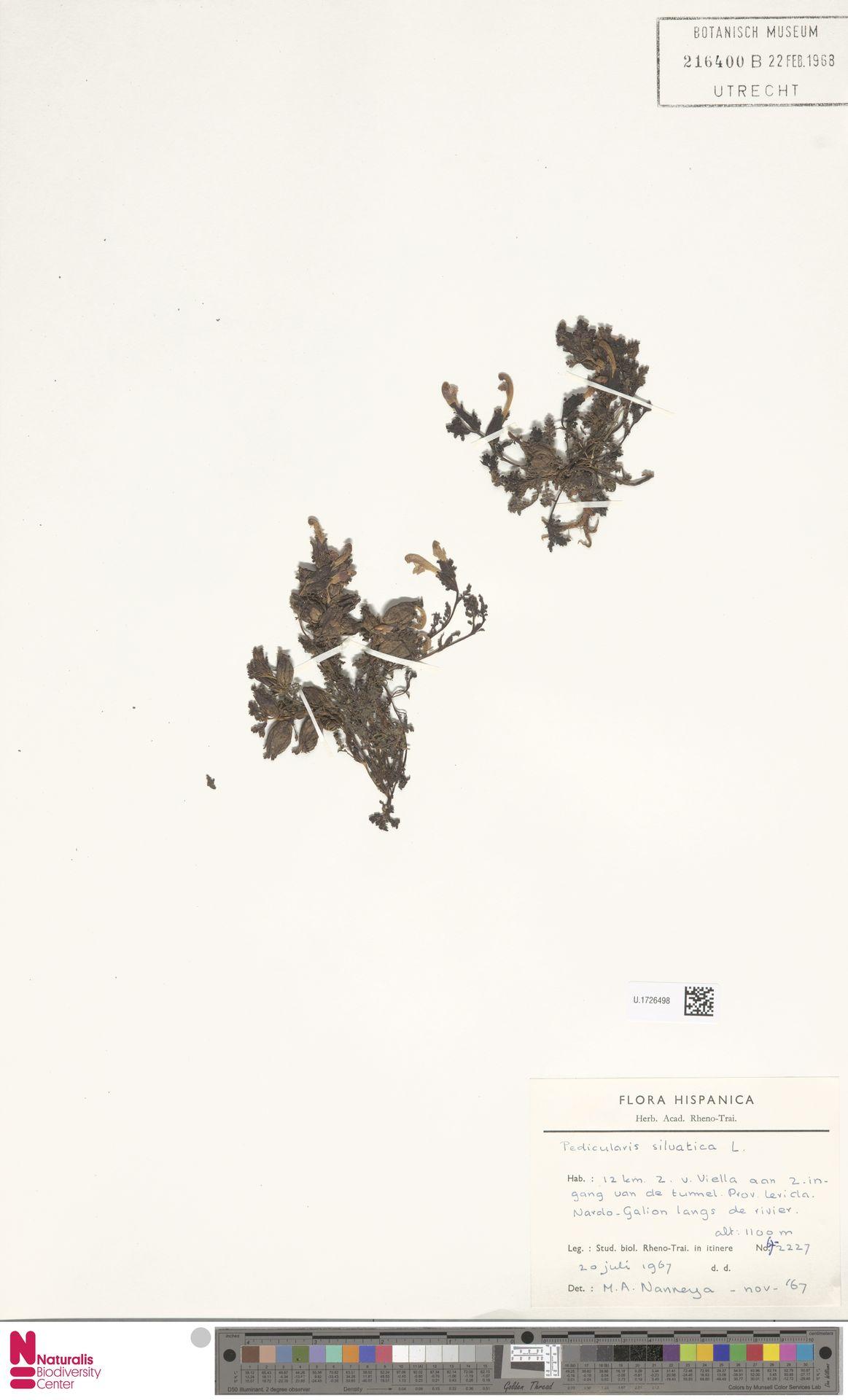 U.1726498 | Pedicularis sylvatica L.