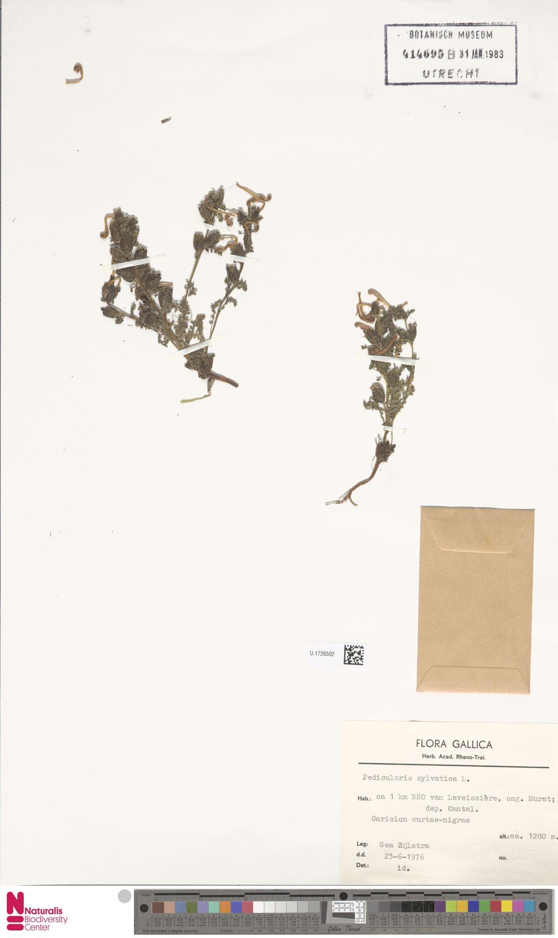 U.1726502 | Pedicularis sylvatica L.
