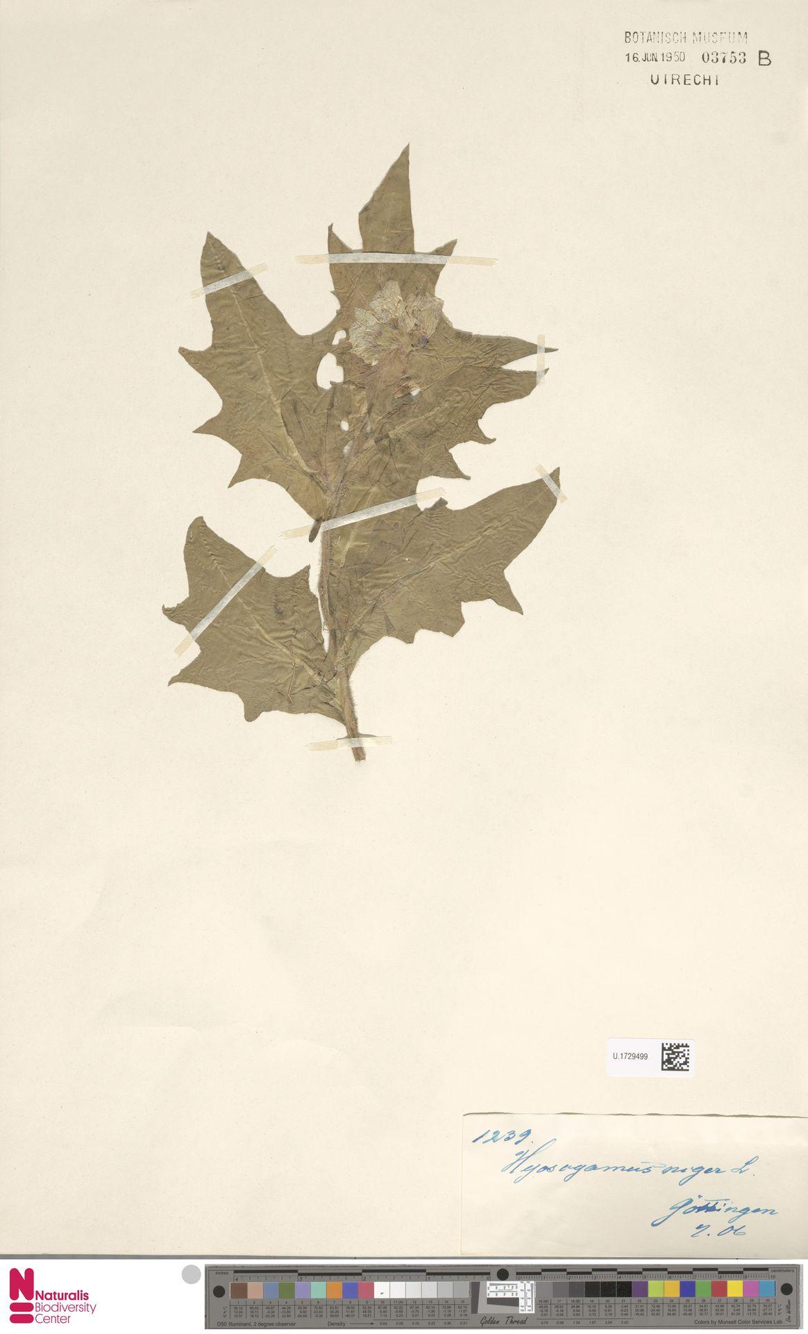 U.1729499 | Hyoscyamus niger L.